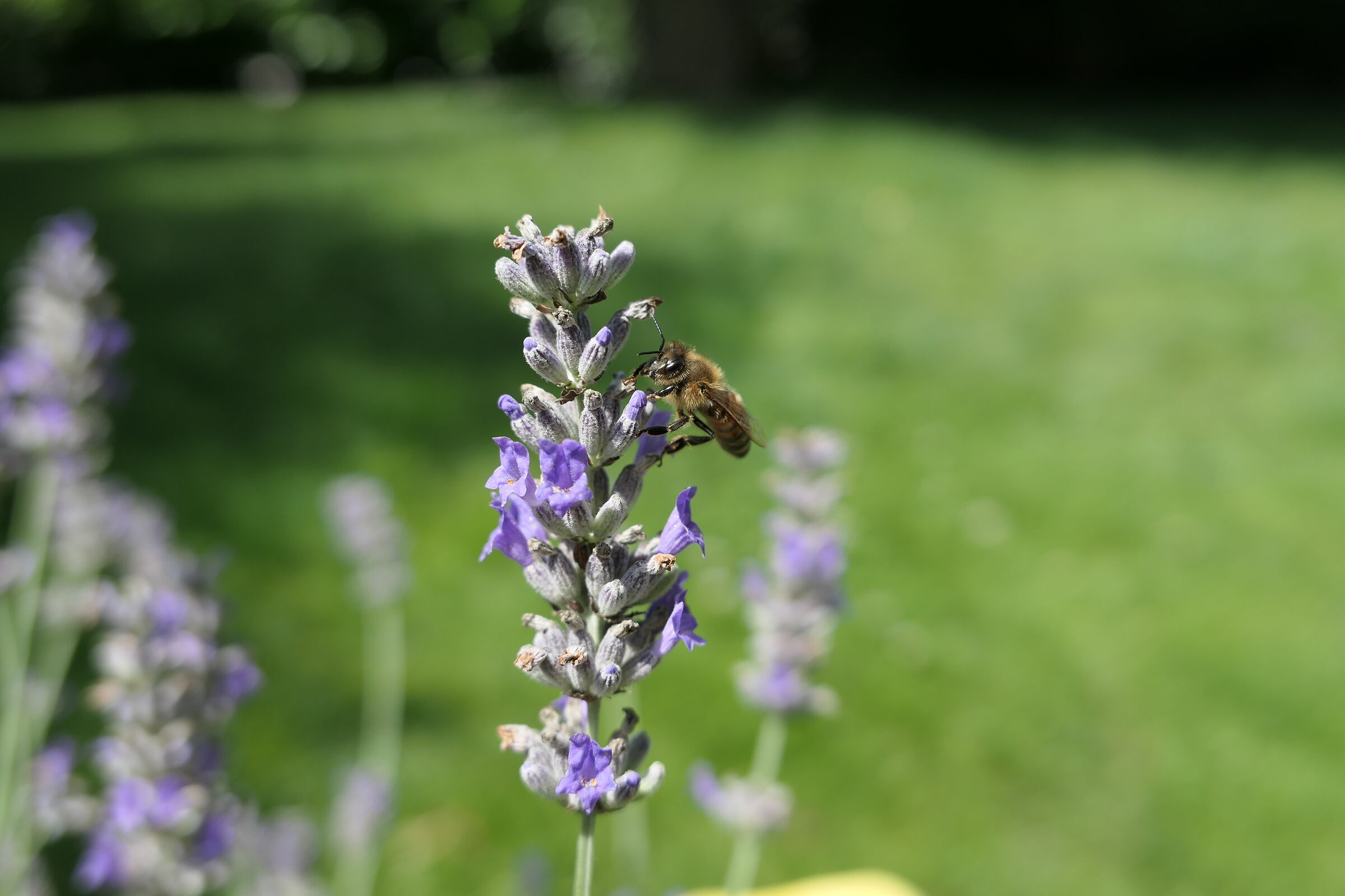 Bee and lavender...