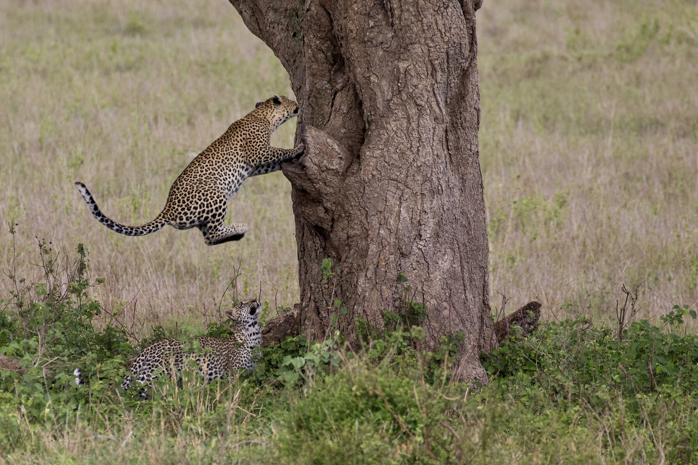 The Leopard Leap...