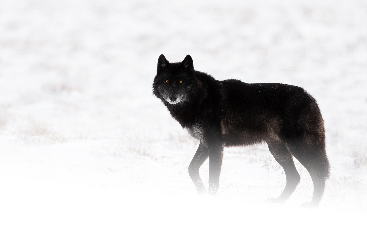 The Wolf...