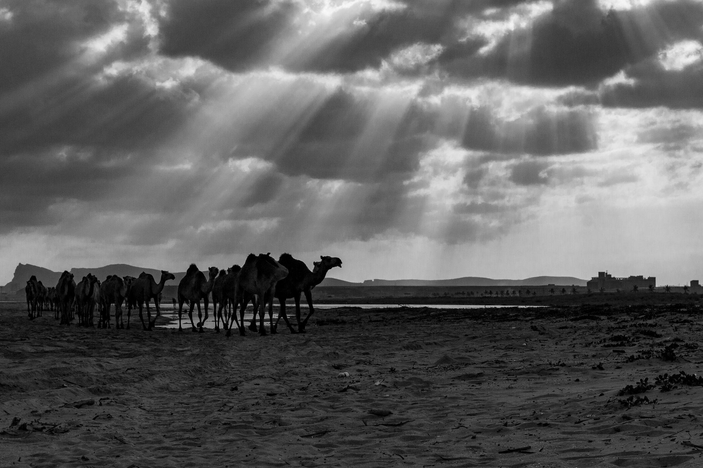 Dromedari al pascolo in Oman...