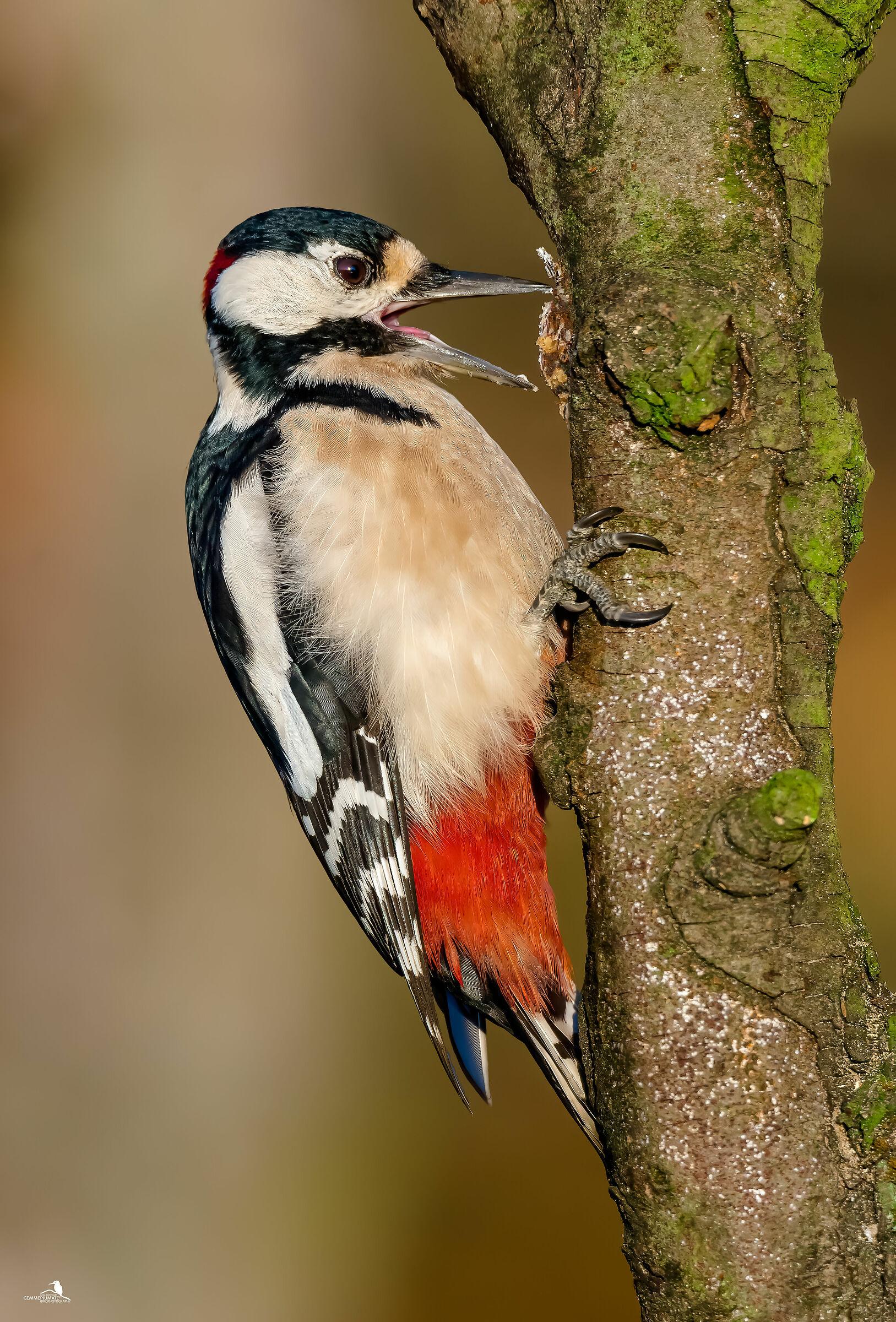 Major red woodpecker - female...