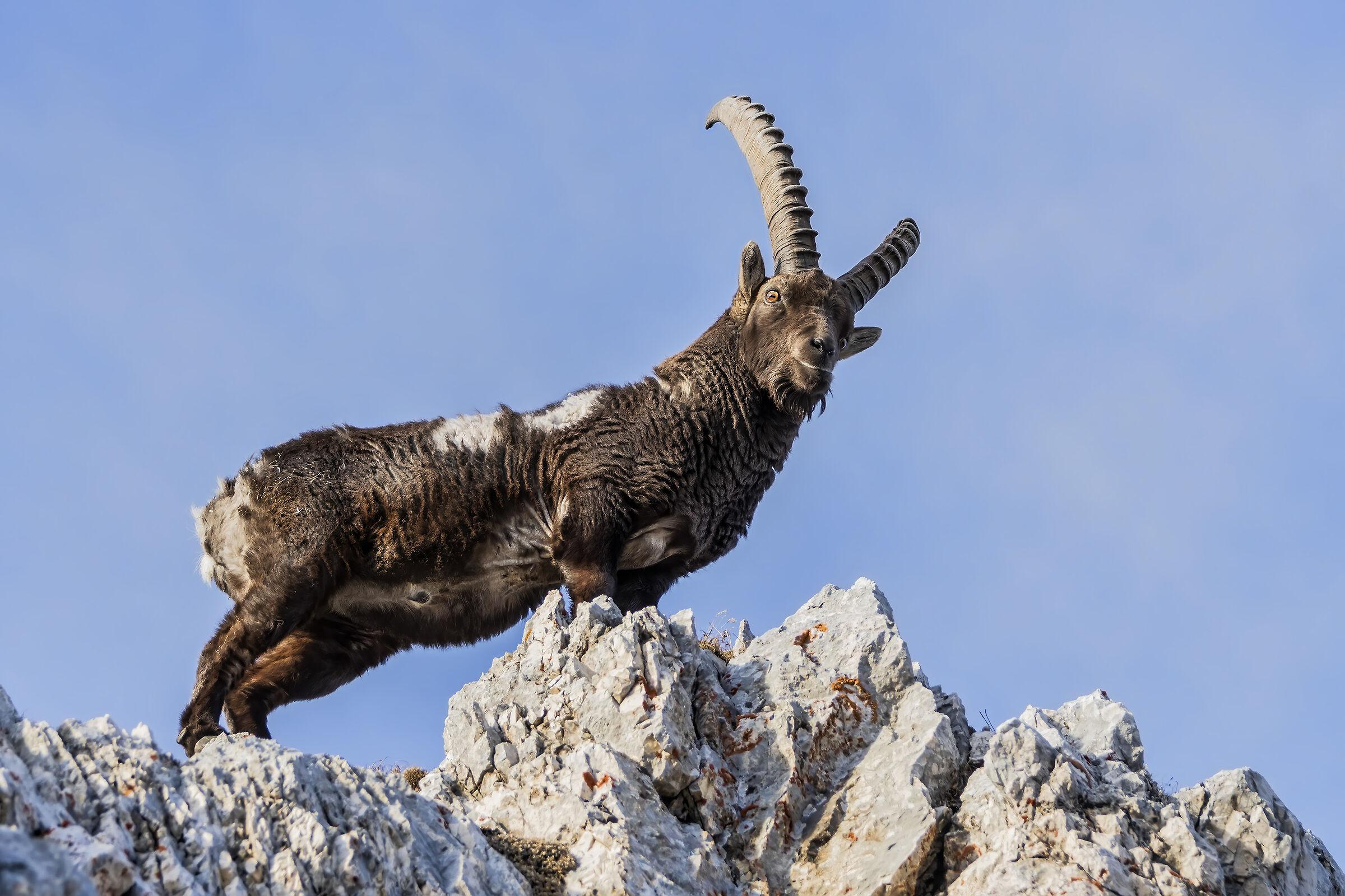 Stambecco alpi Giulie...