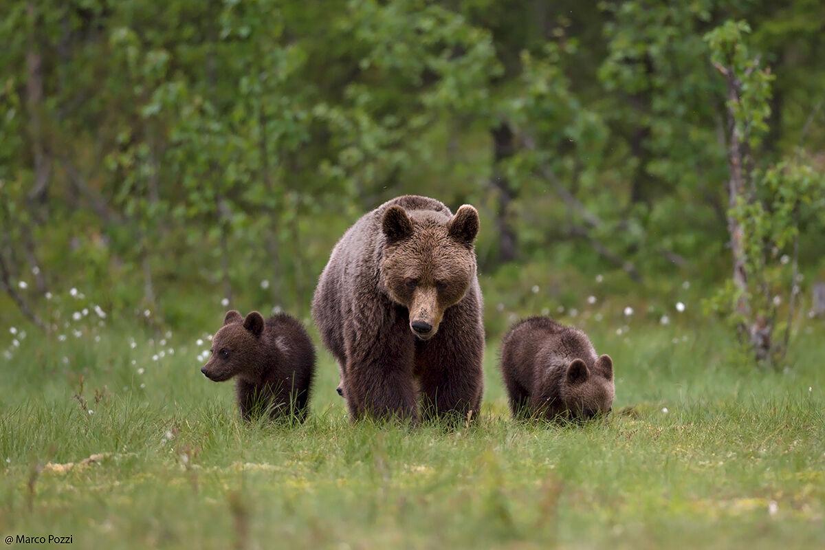 Bears, S. ...