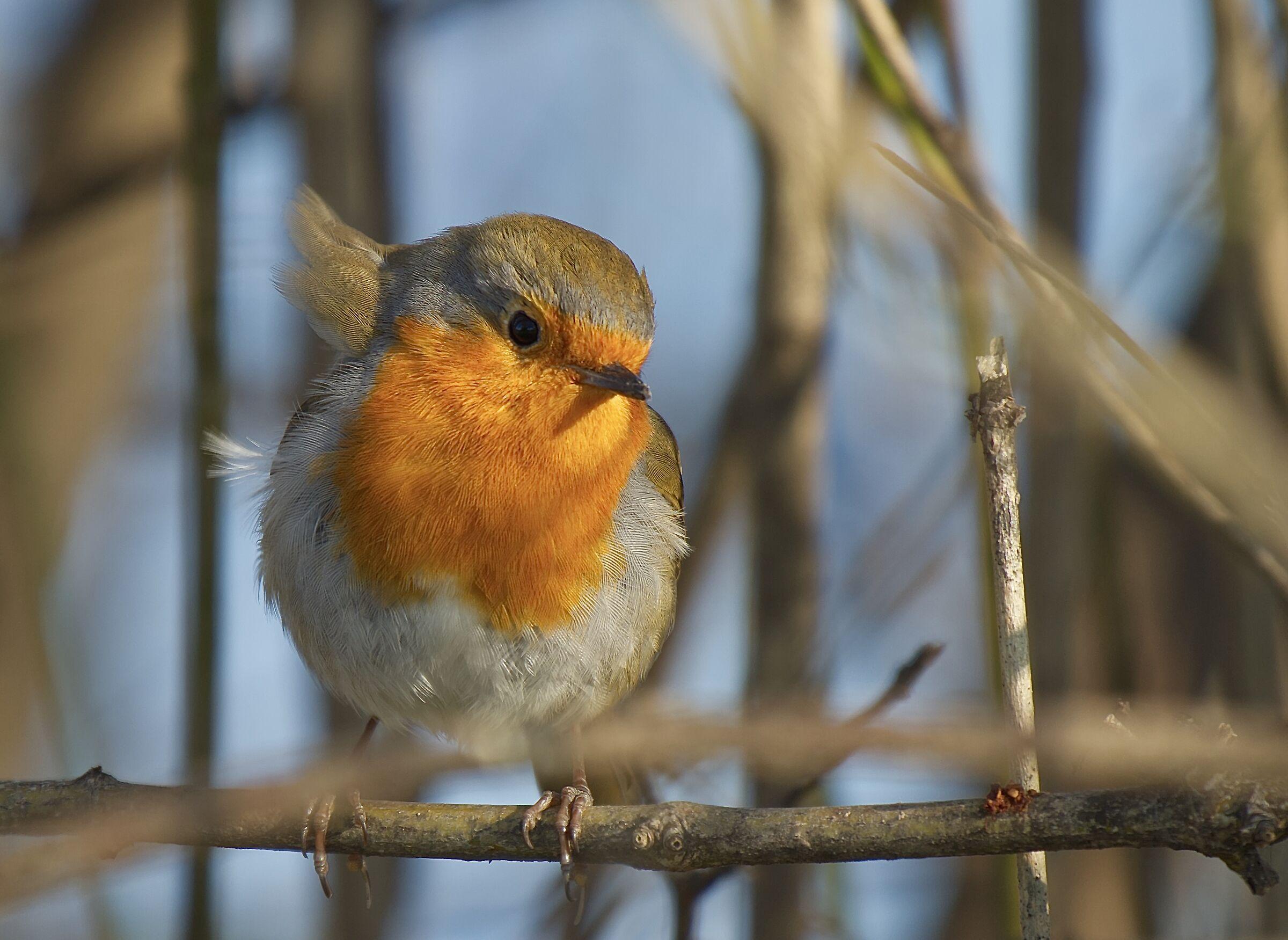 The disheveled robin...