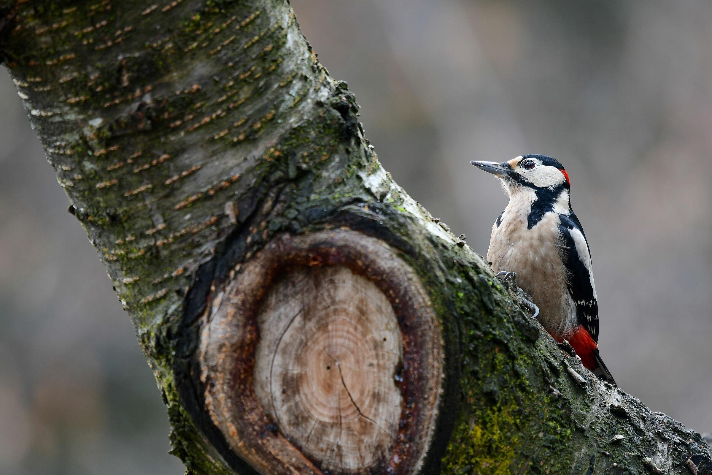 major red woodpecker...