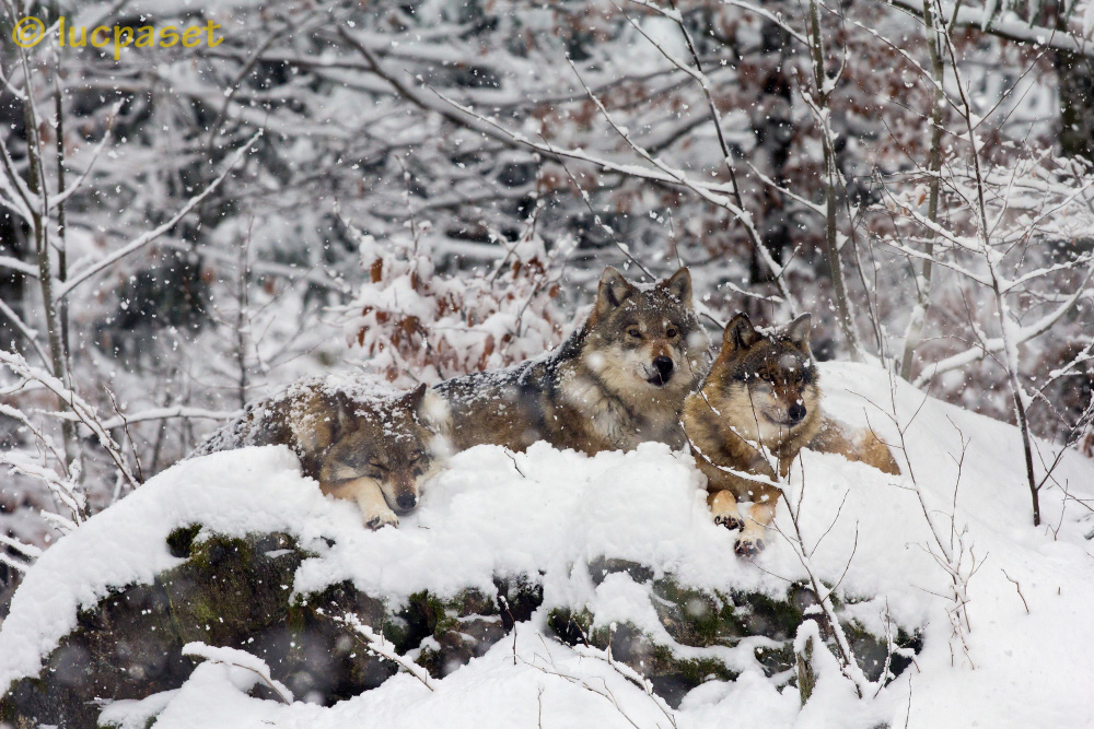 Wolf weather...