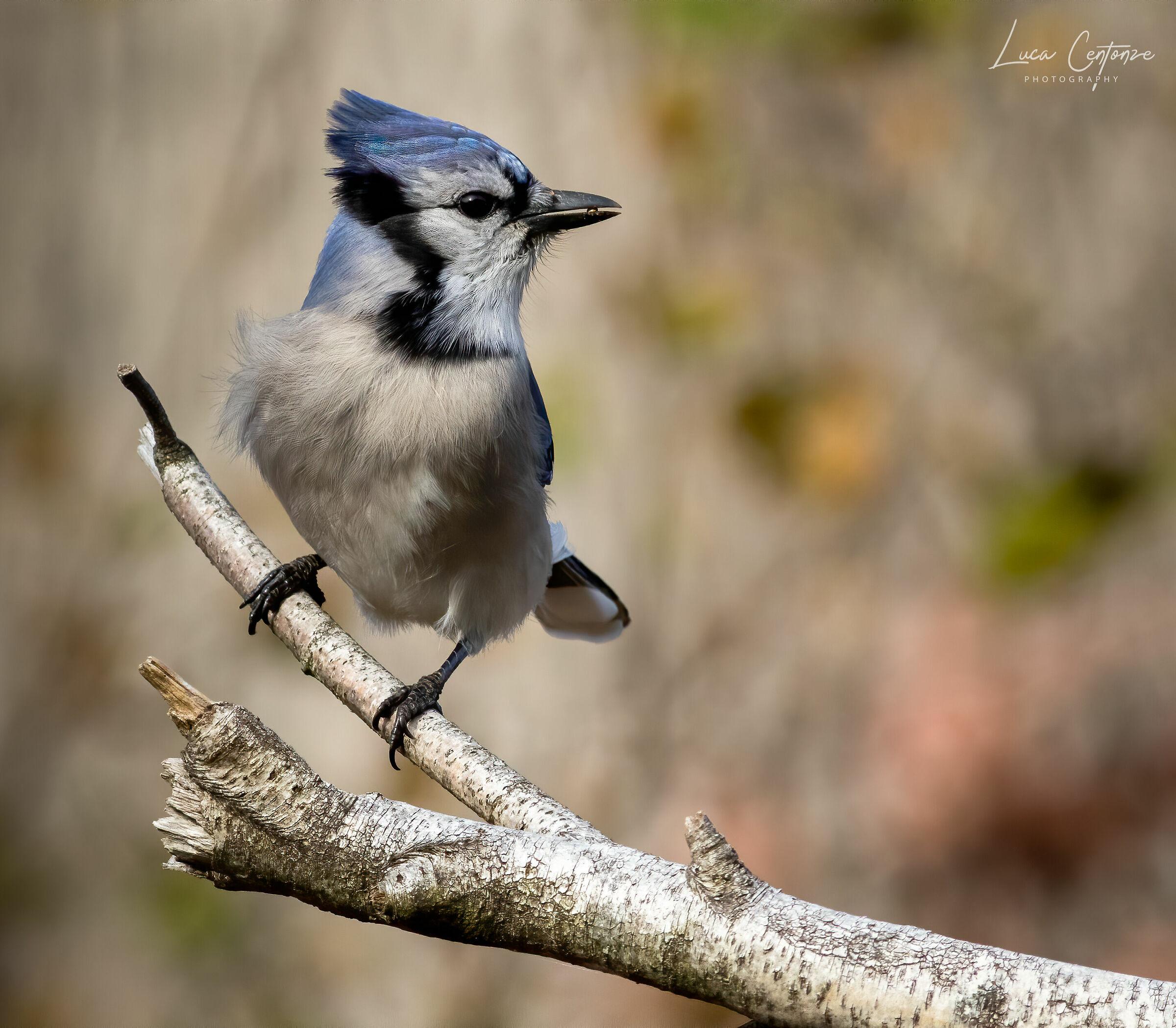 Blue Jay (backyard collection)...