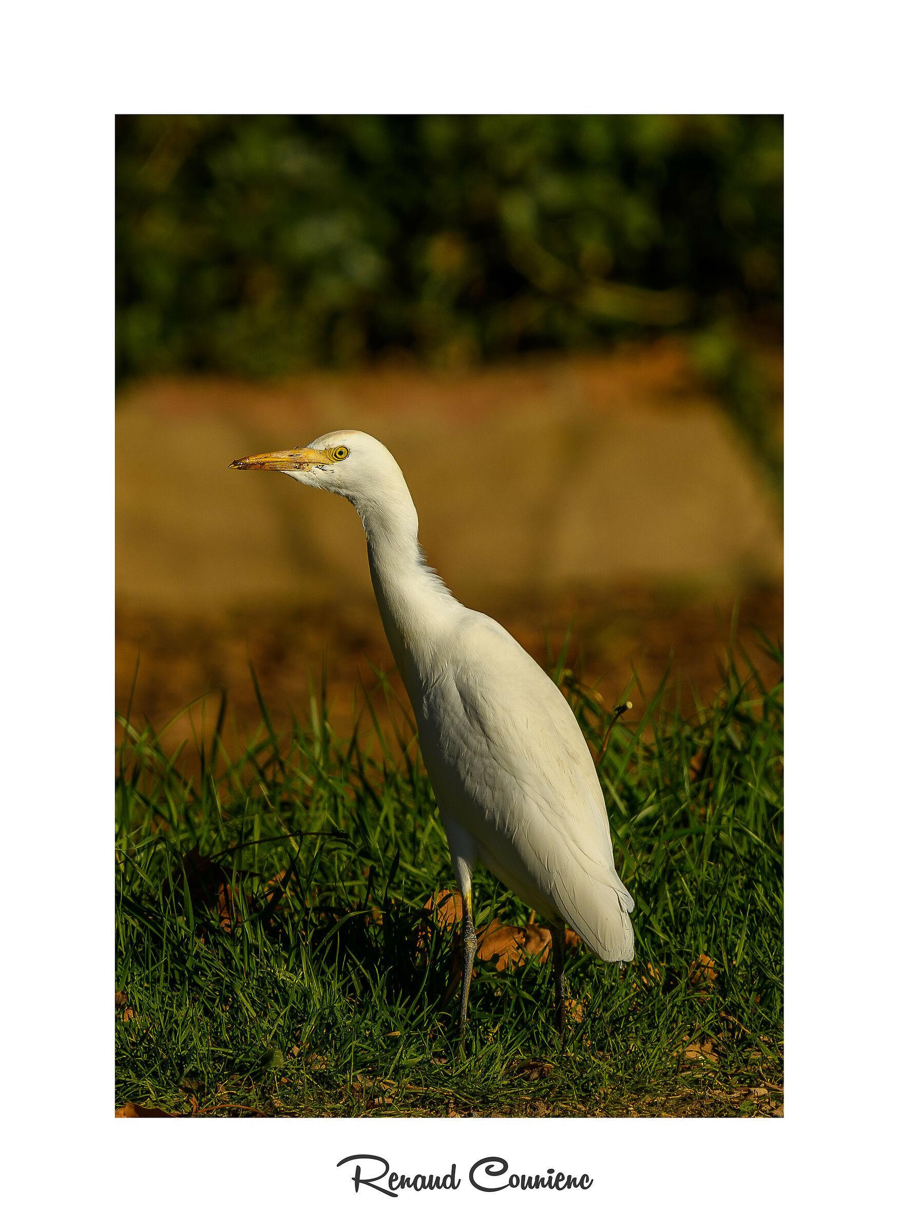 Bubulcus ibis...