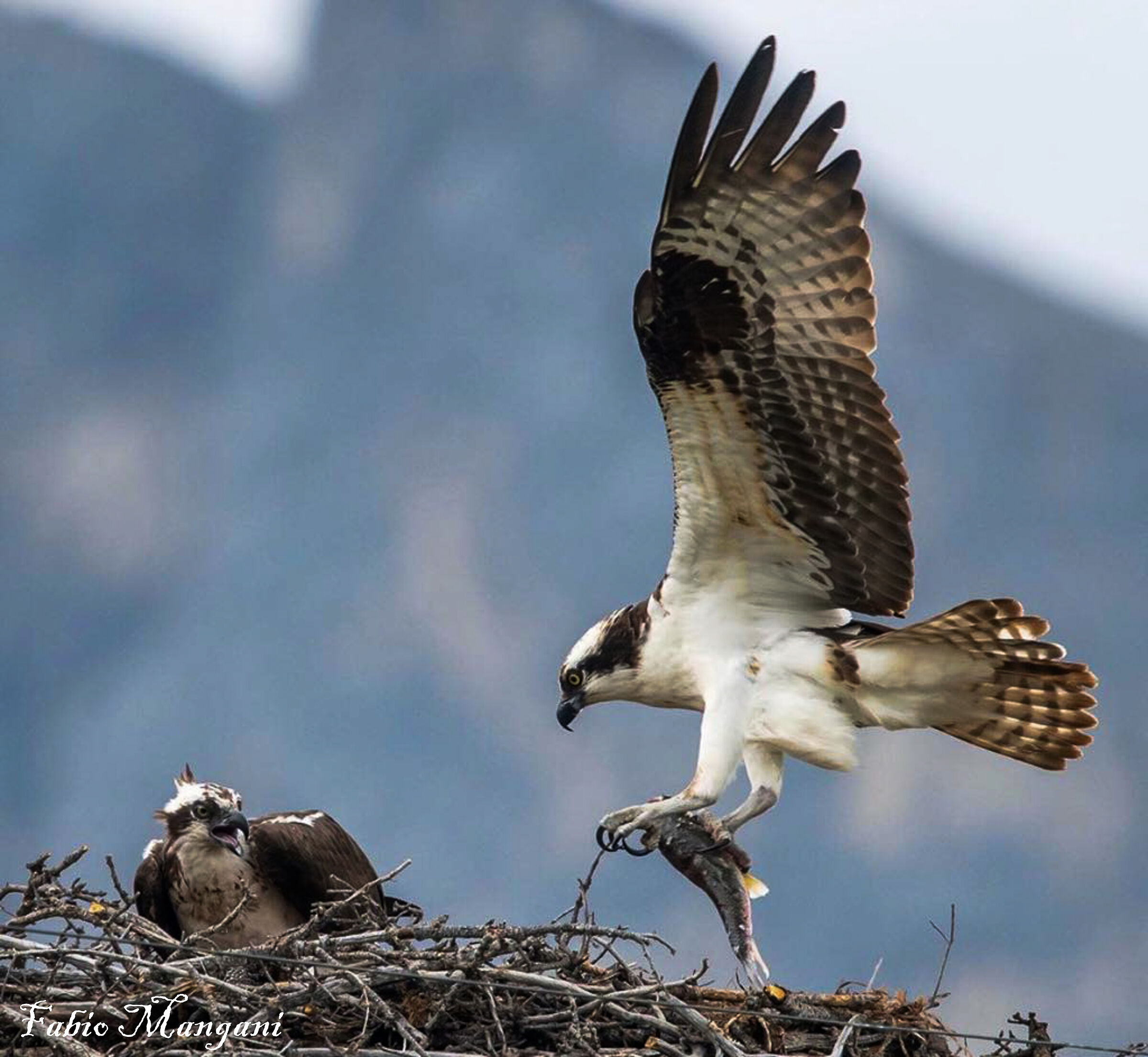 osprey at the nest with prey...