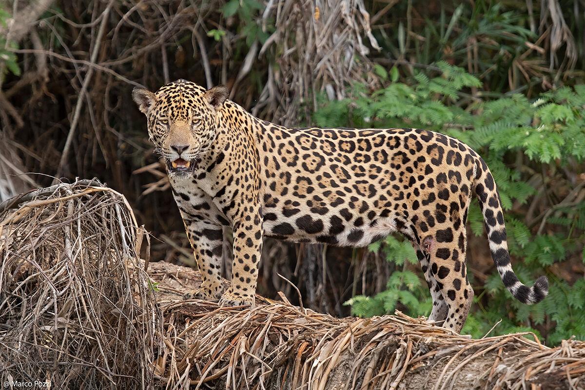 Panthera Onca...