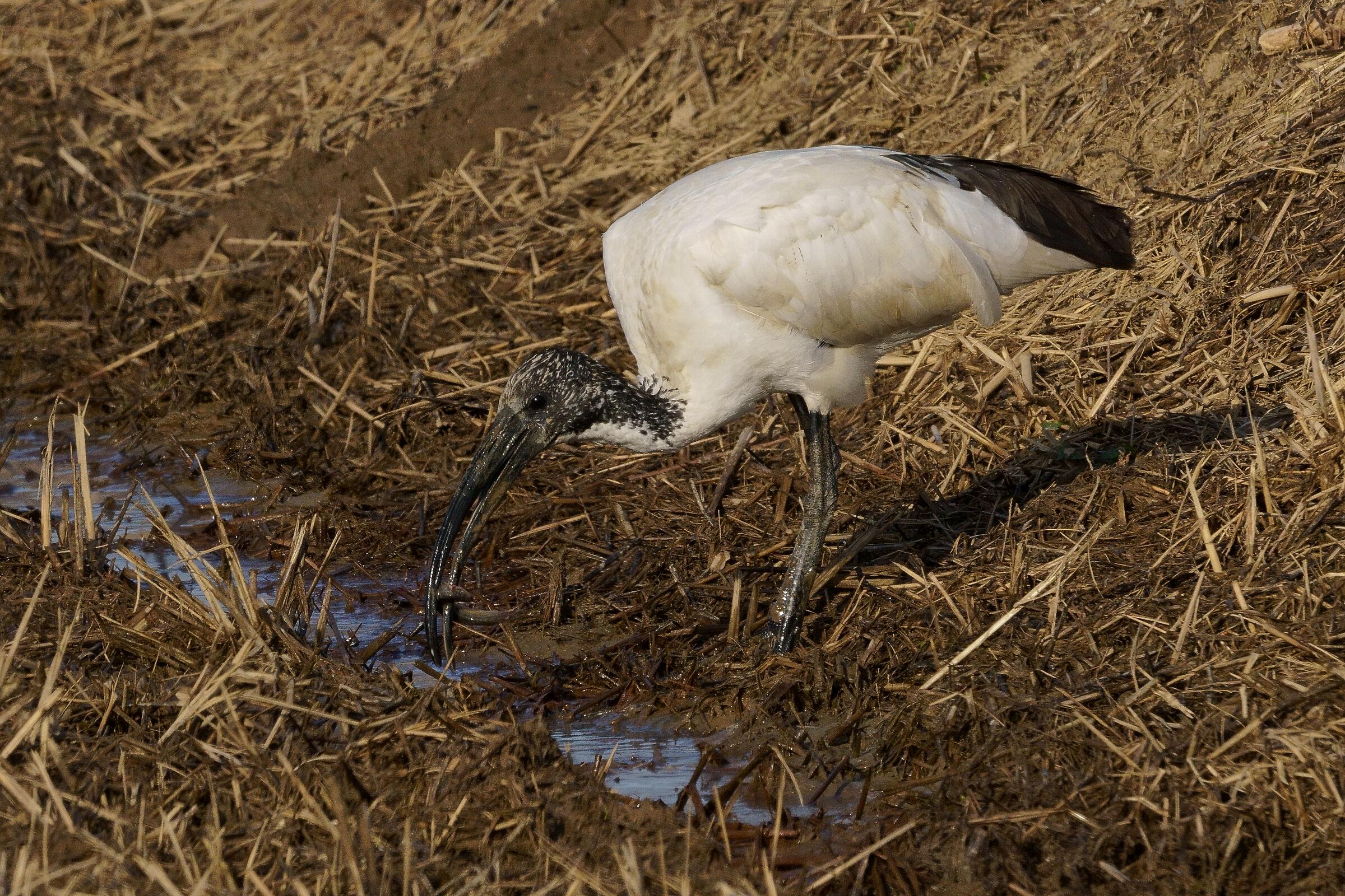 ibis sacro con preda...
