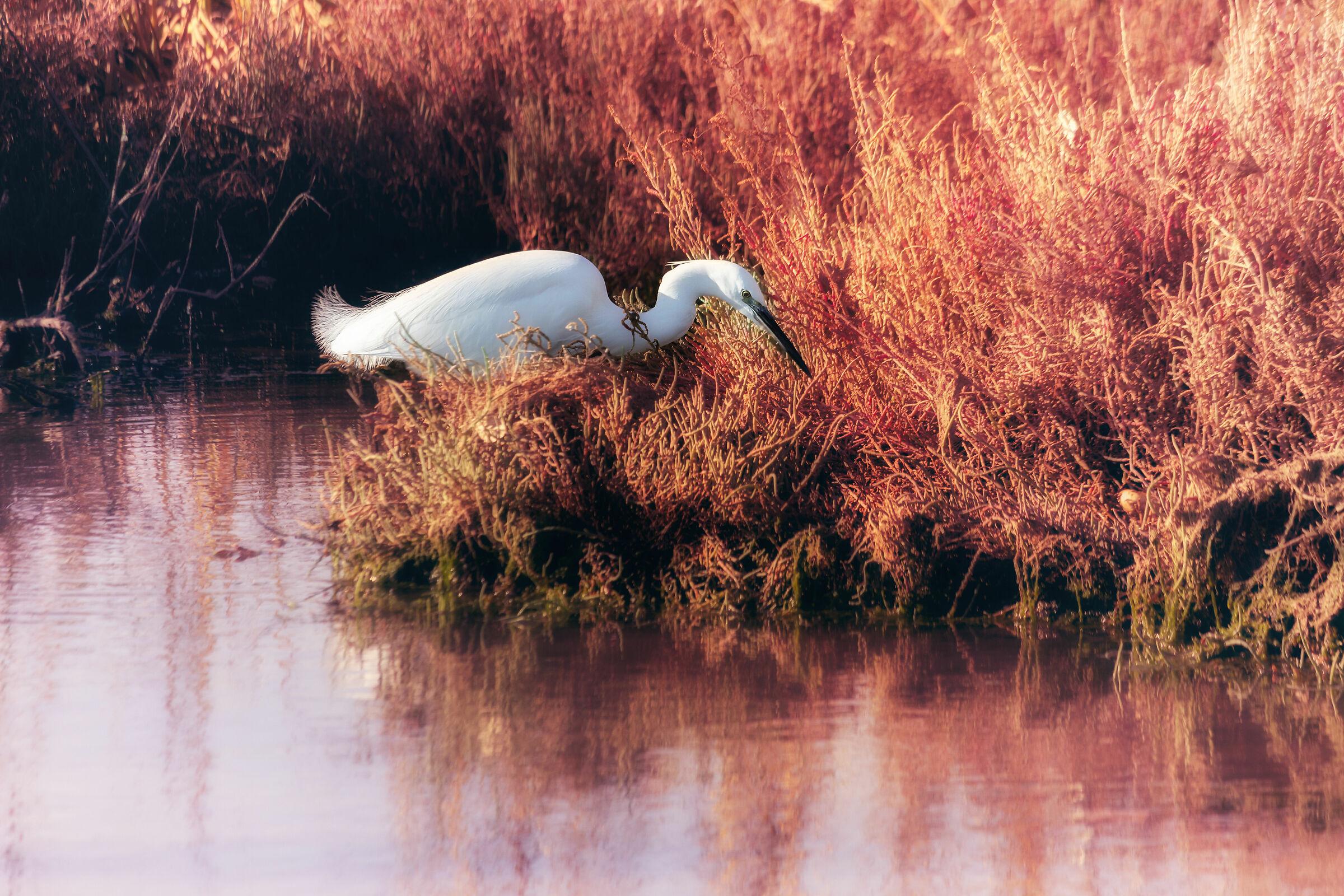 Snowy Egret...