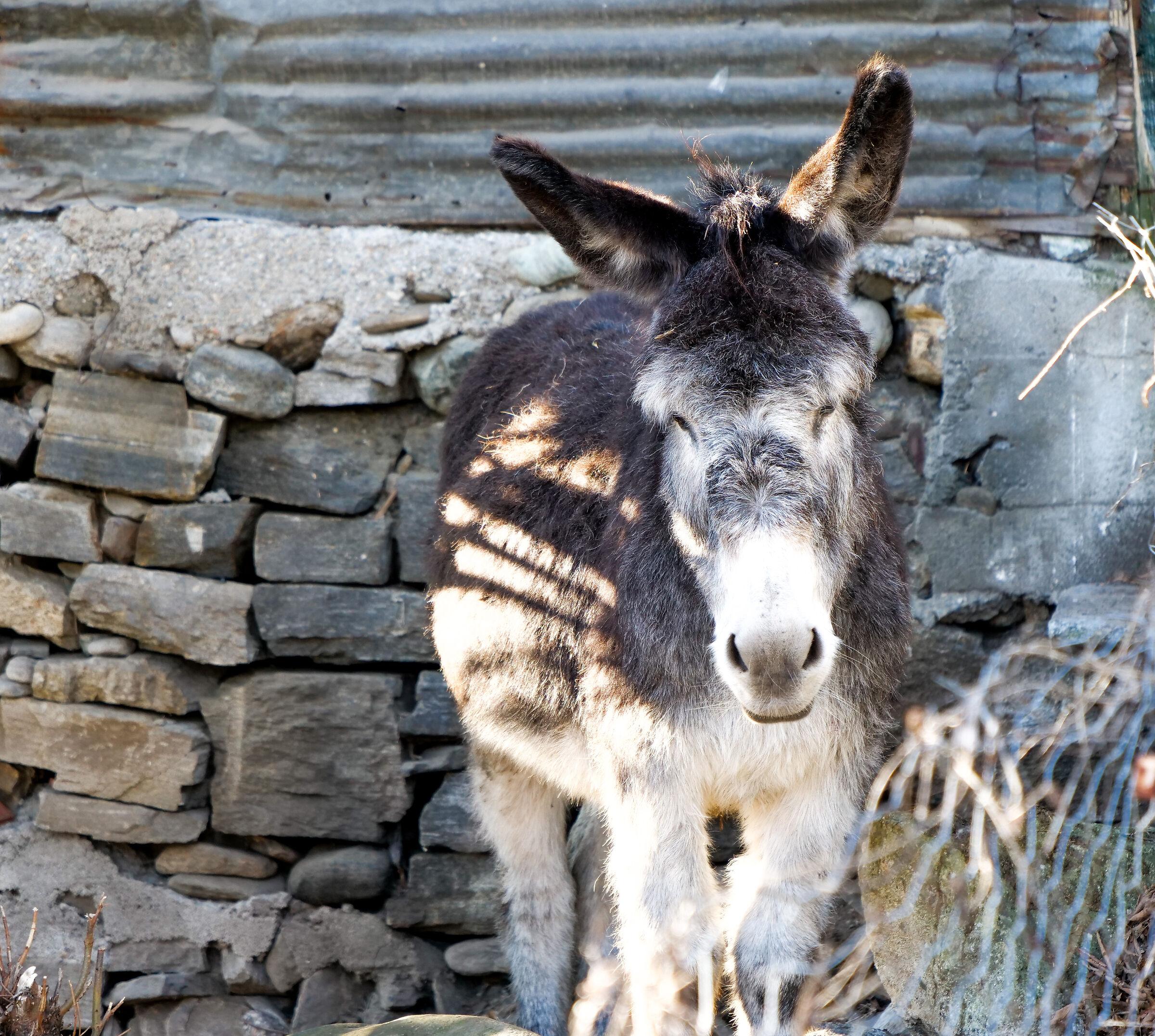 Donkey of the year...