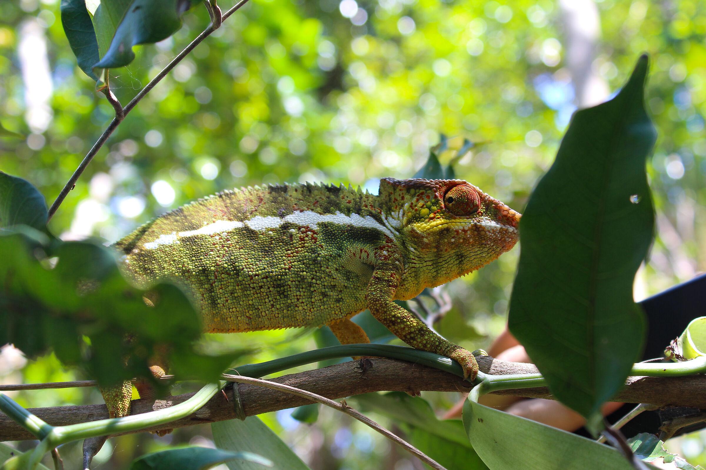Lokobe riserve, Madagascar...