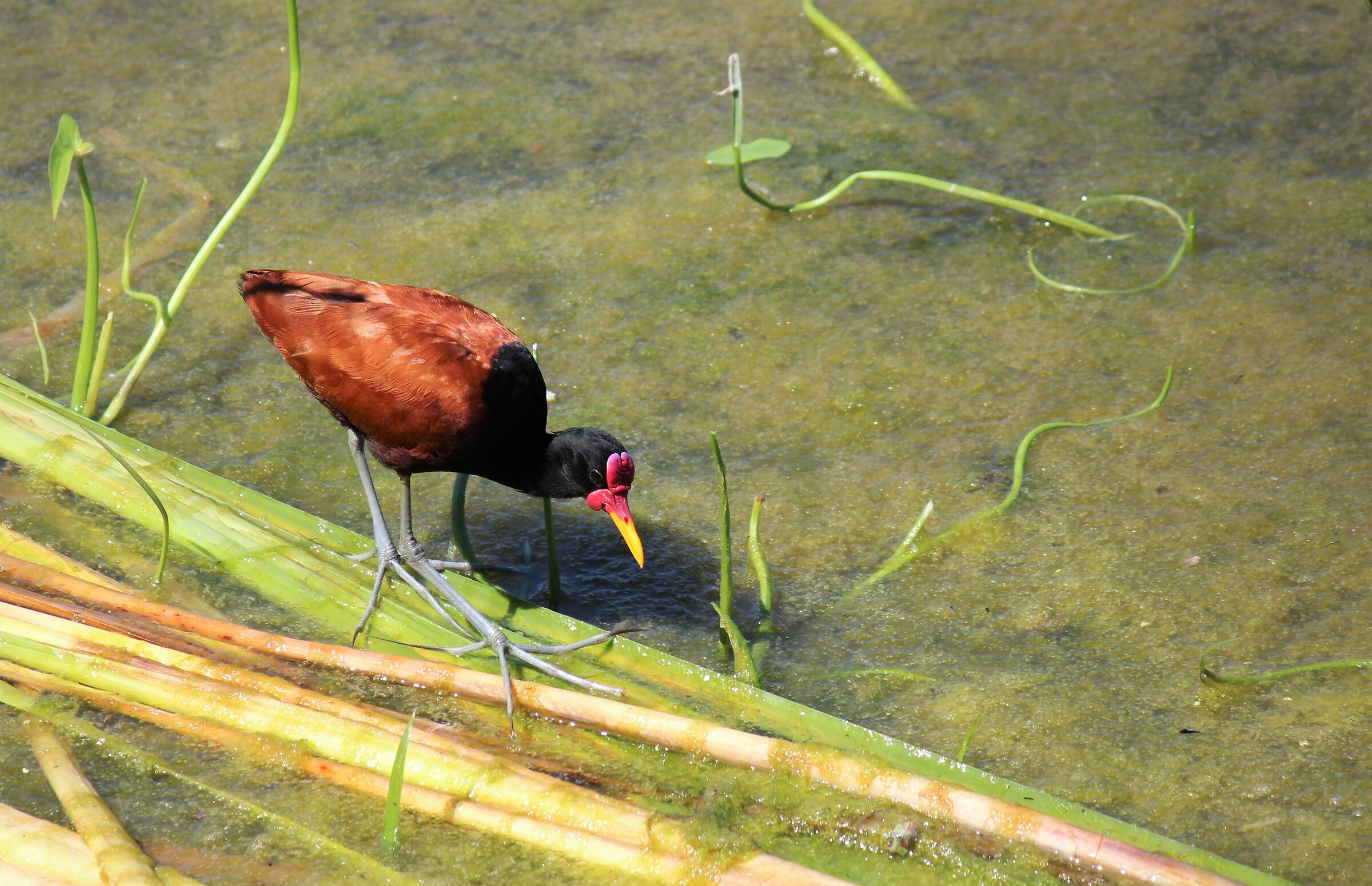 the hunt for jacana ...