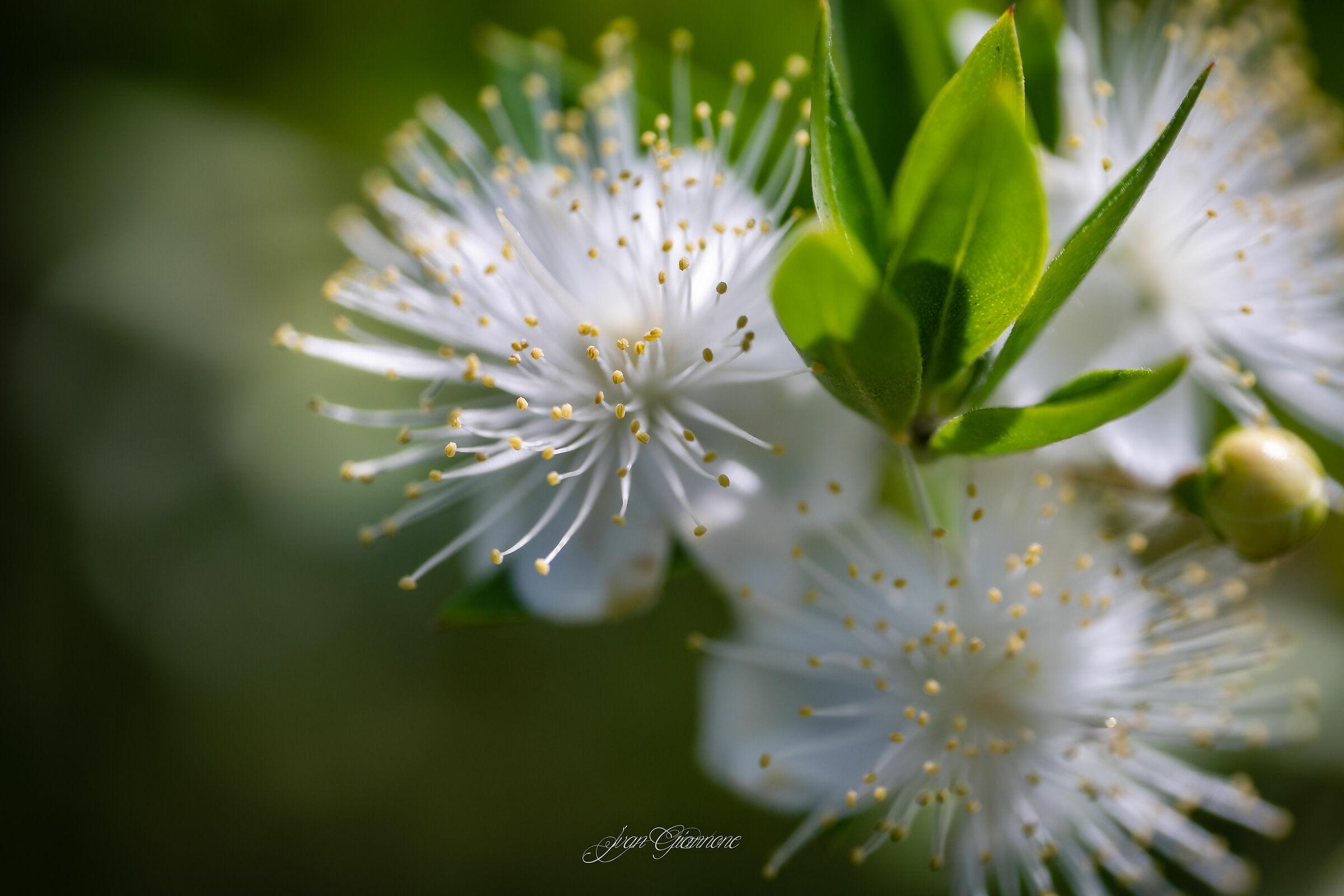 Myrtle Flowers...