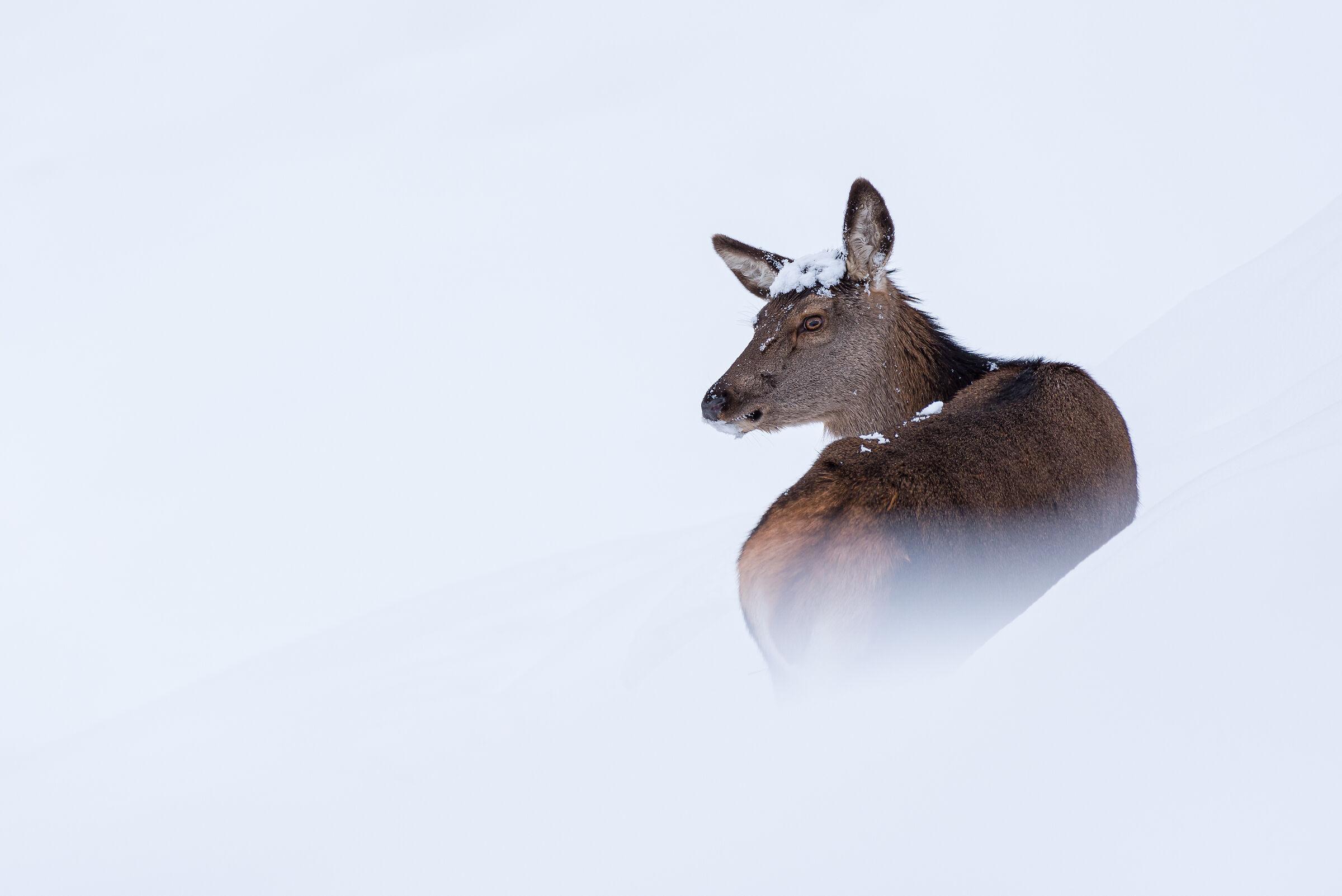 Cerva nella neve...
