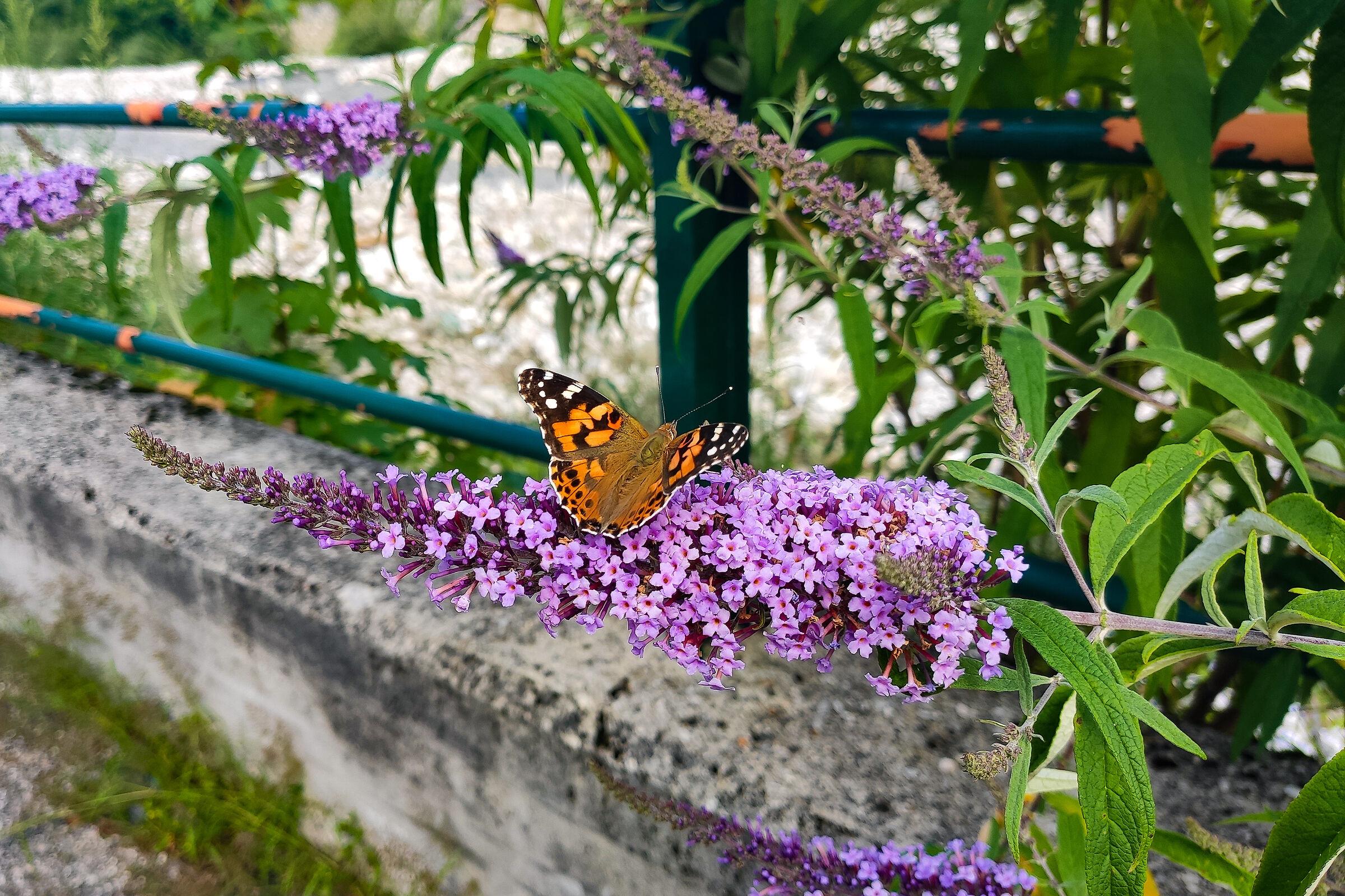 """""""piche"""", anima in greco, significa anche """"farfalla"""". Na..."""