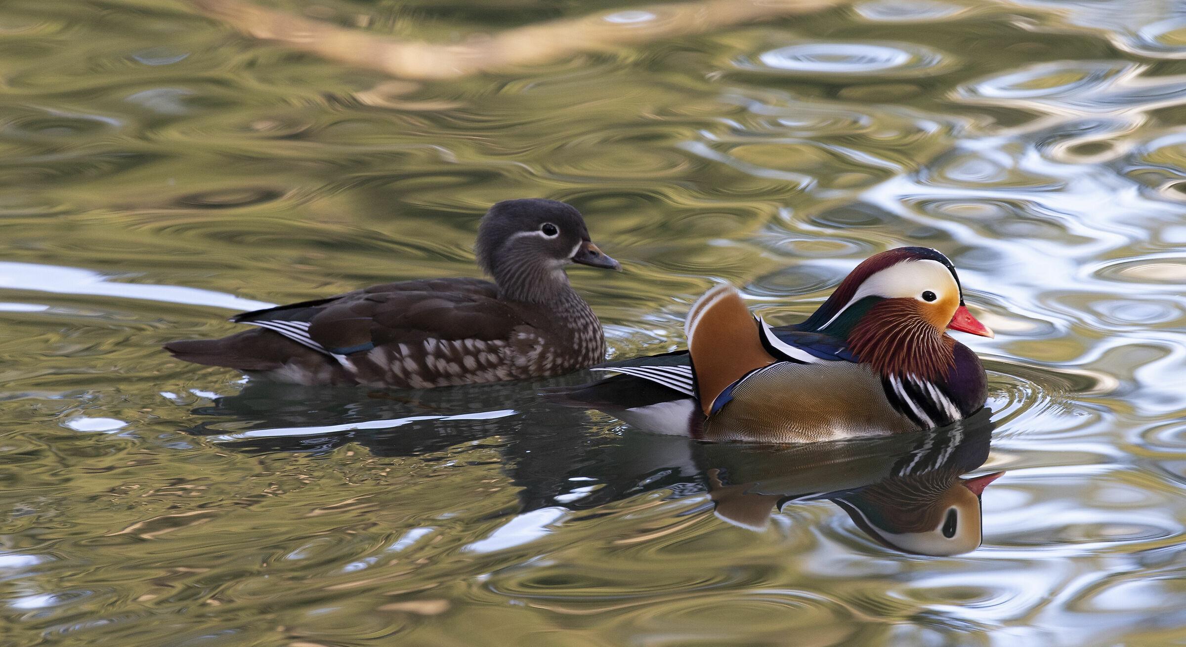 Pair of mandarin ducks...