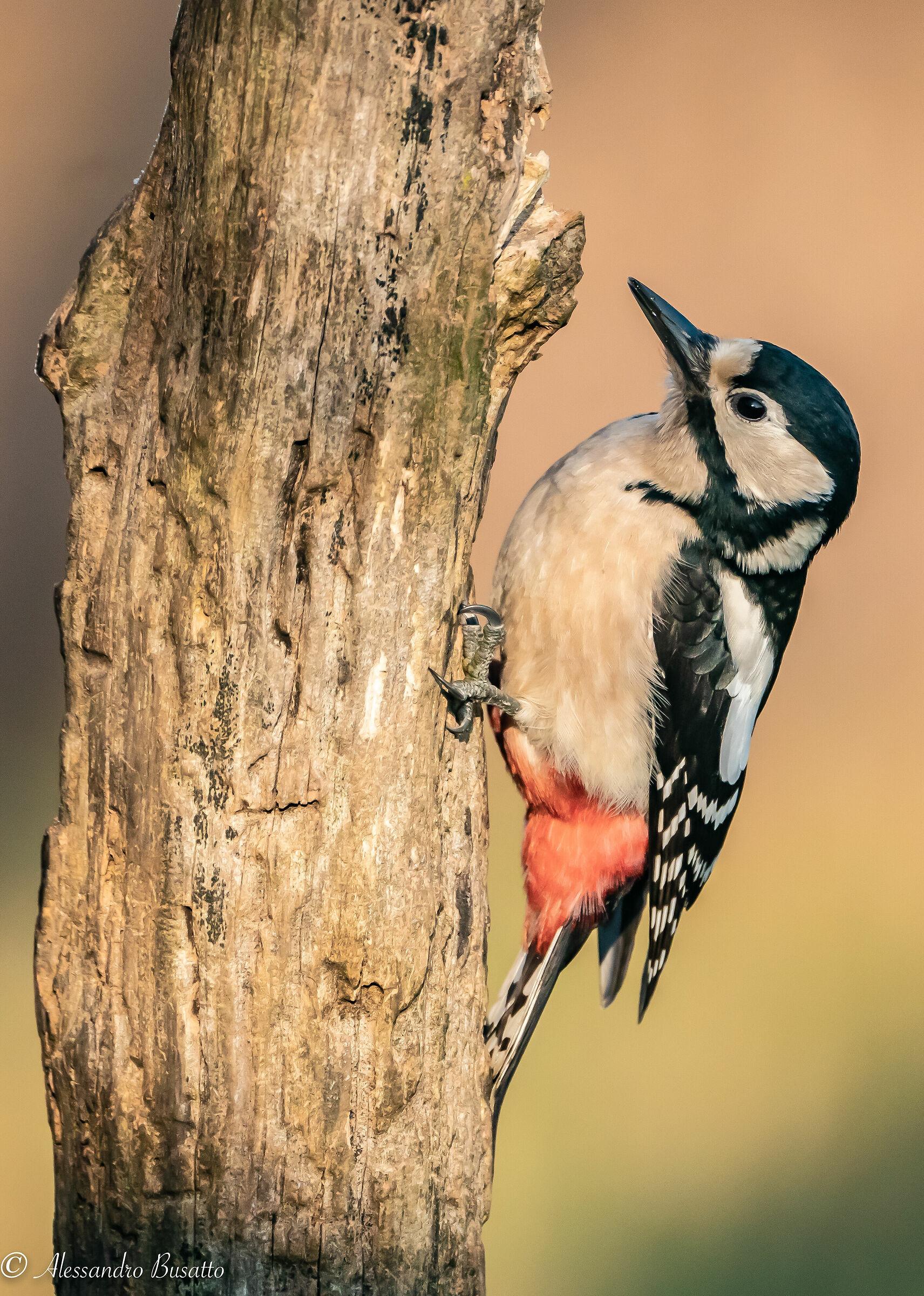 Red woodpecker...