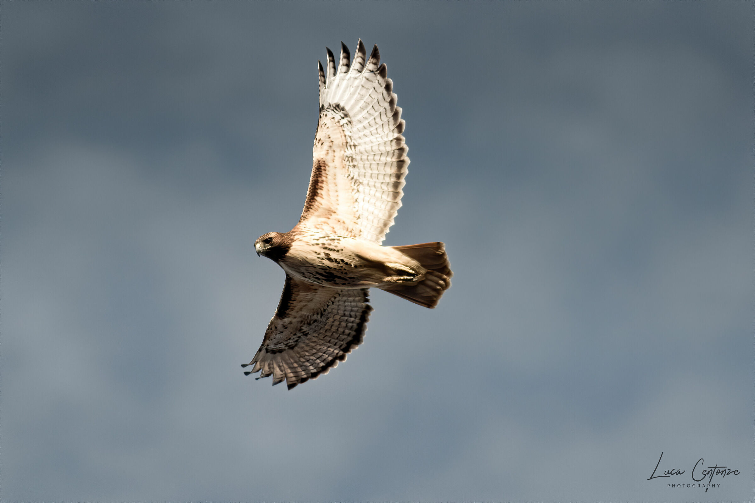 Red-Tailed Hawk (Buteo jamaicensis)...