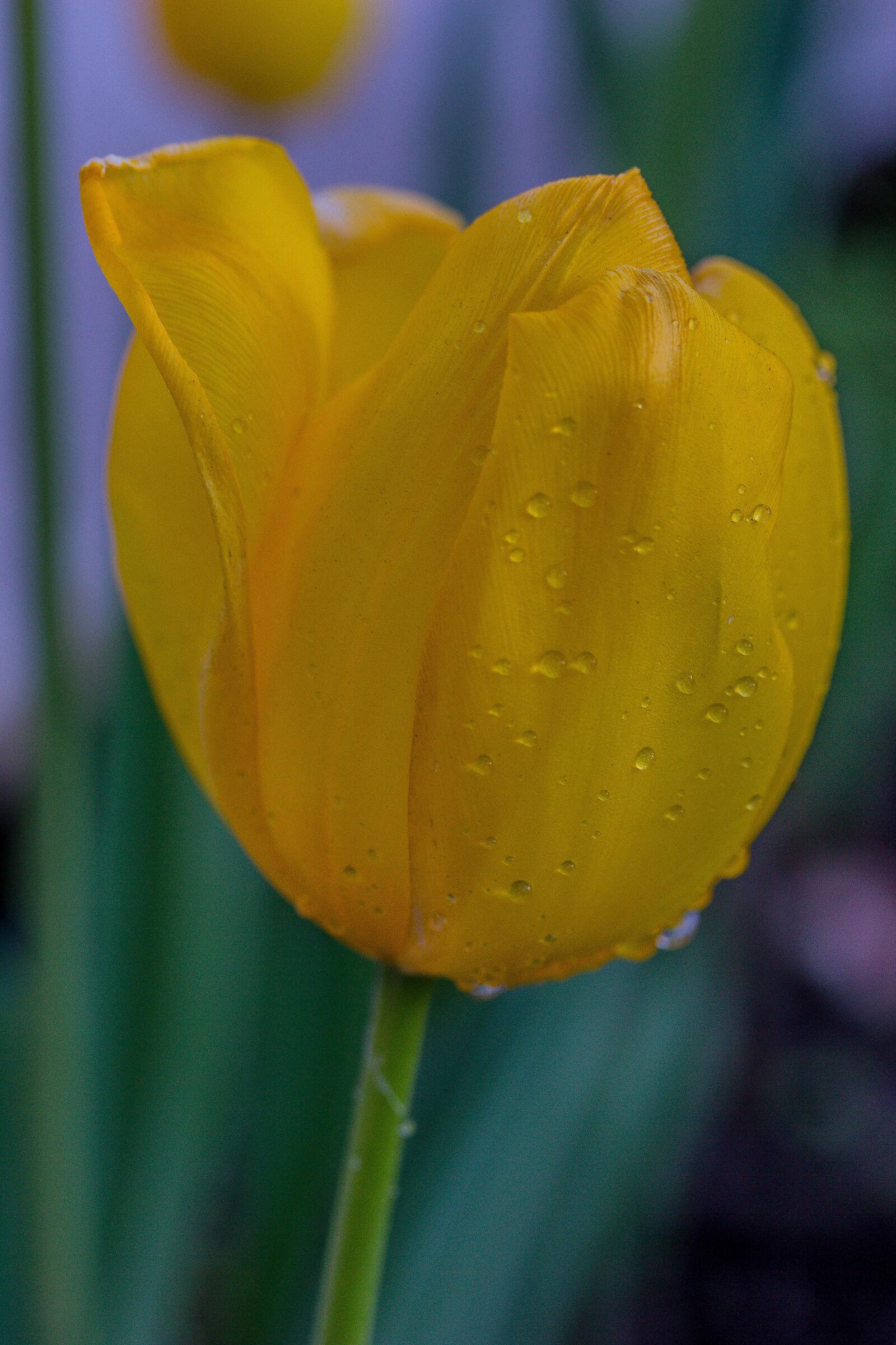 Tulip...