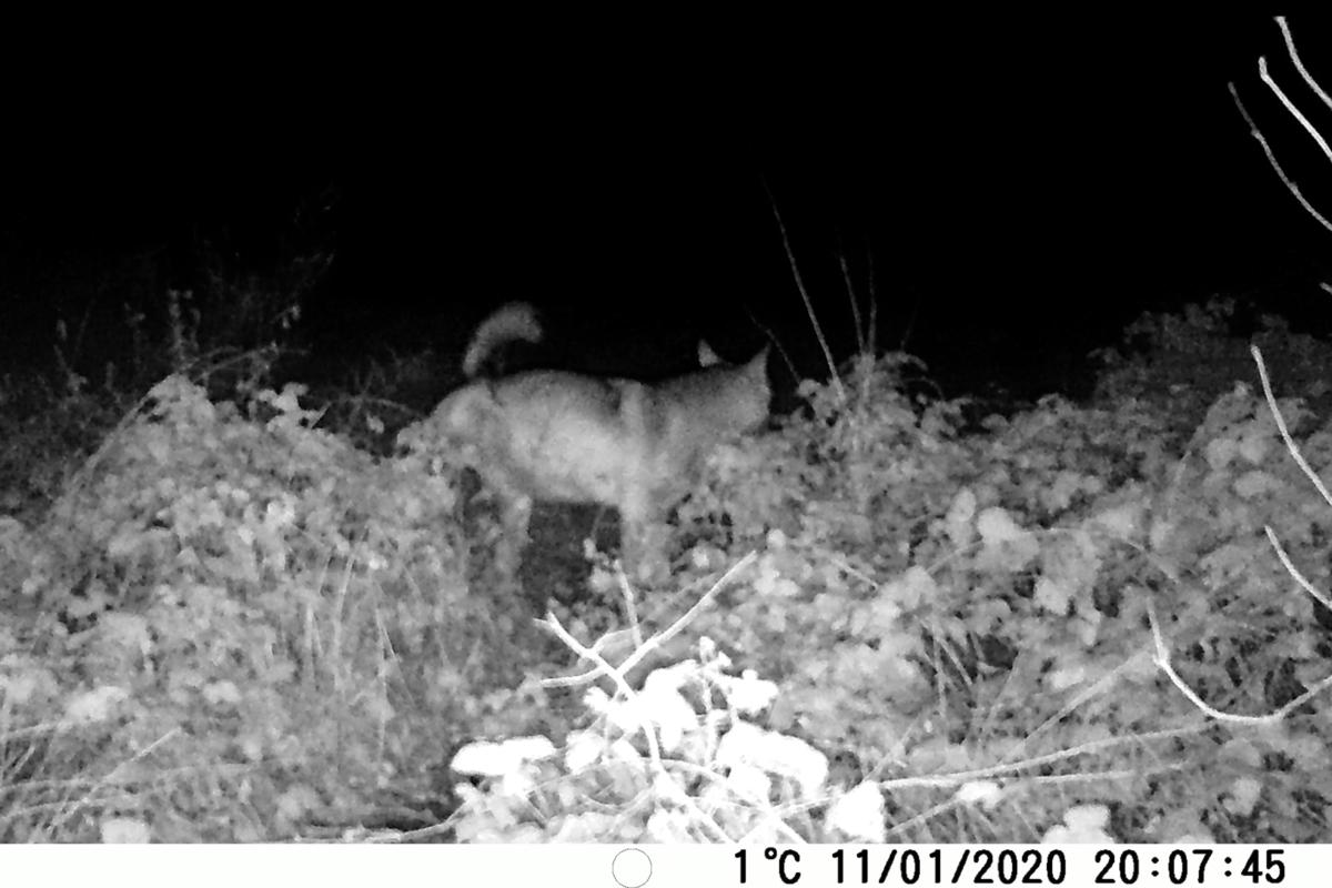 Apennine Wolf....