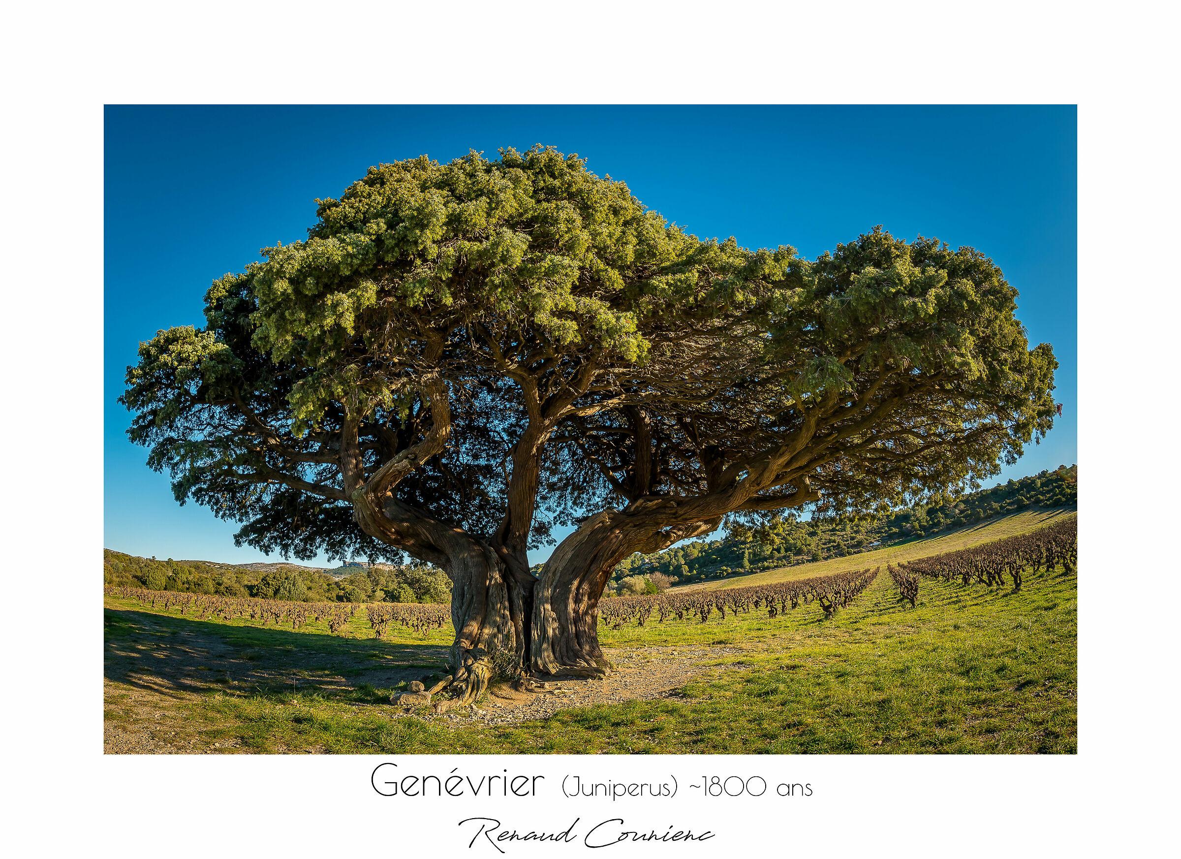 Juniperus (1800 years old)...