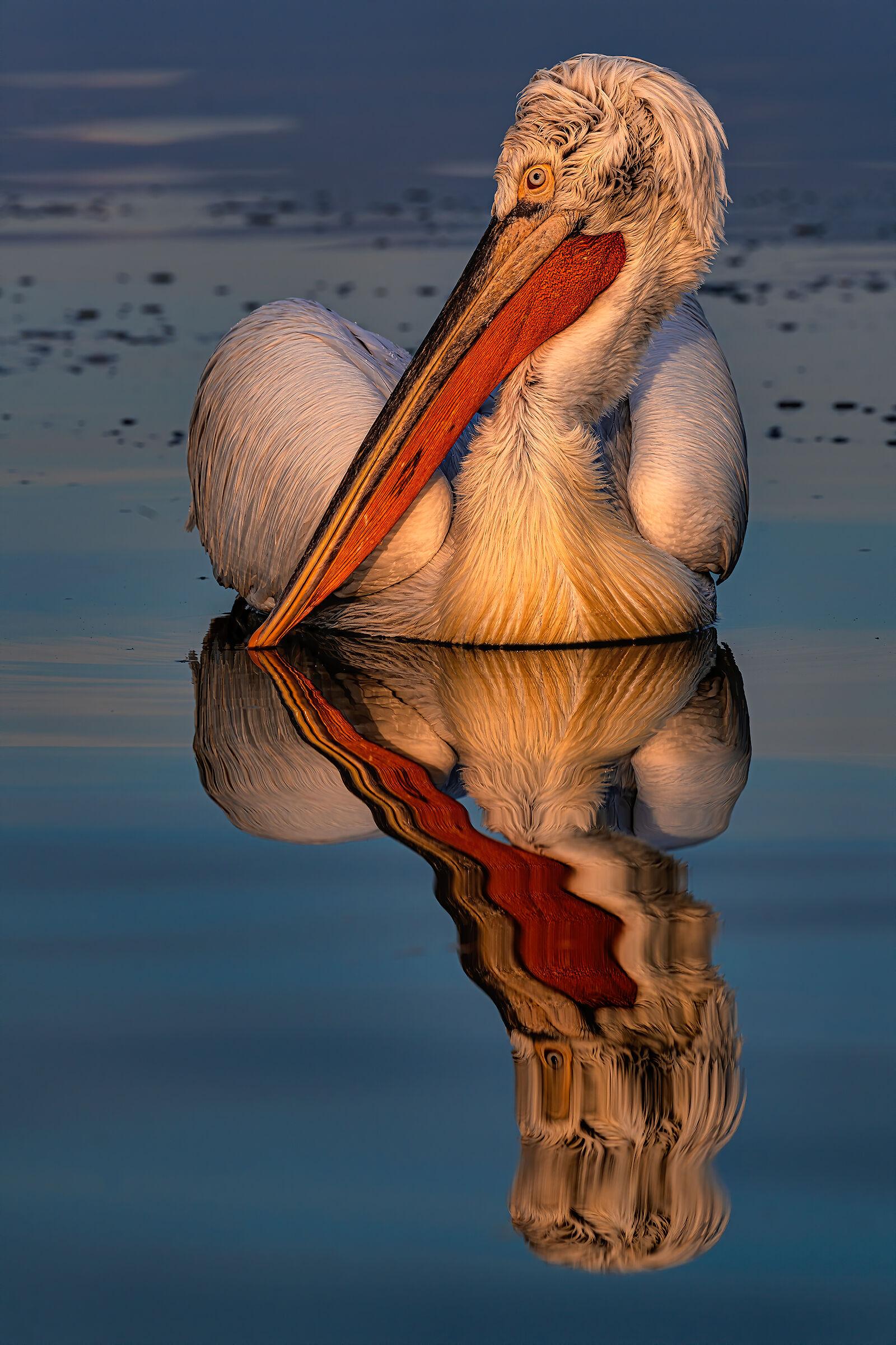 Pelecanus crispus' reflection...