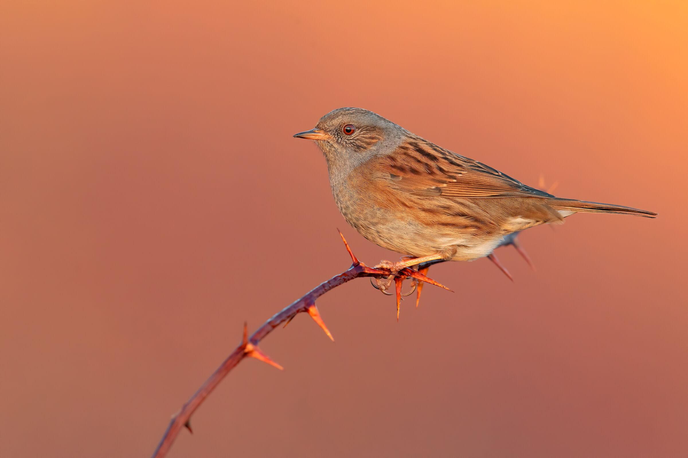 Sparrow Scopaiola...