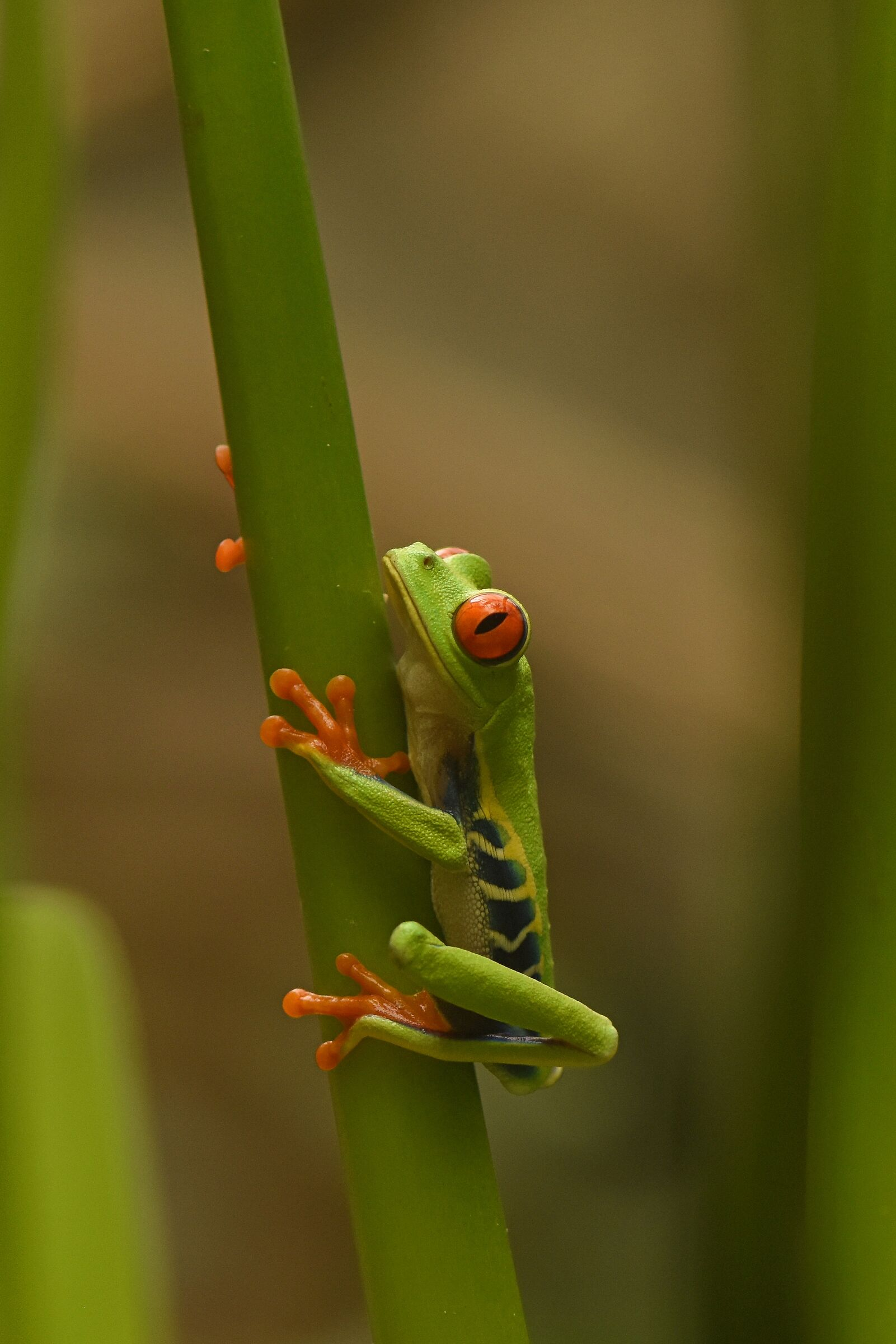 Red-eyed frog...