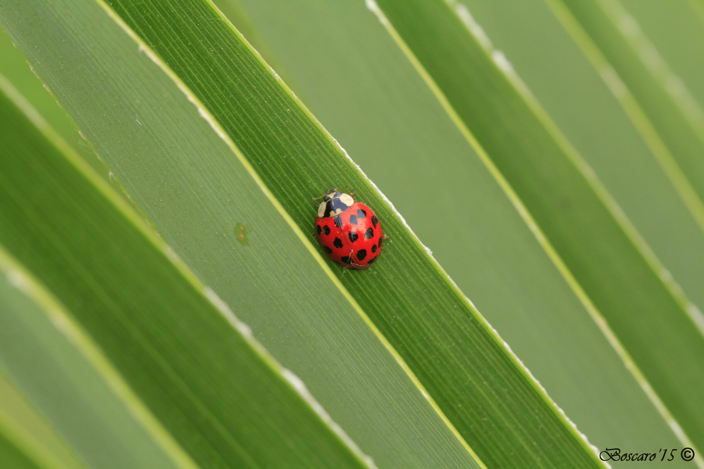 Ladybug on palm leaf...