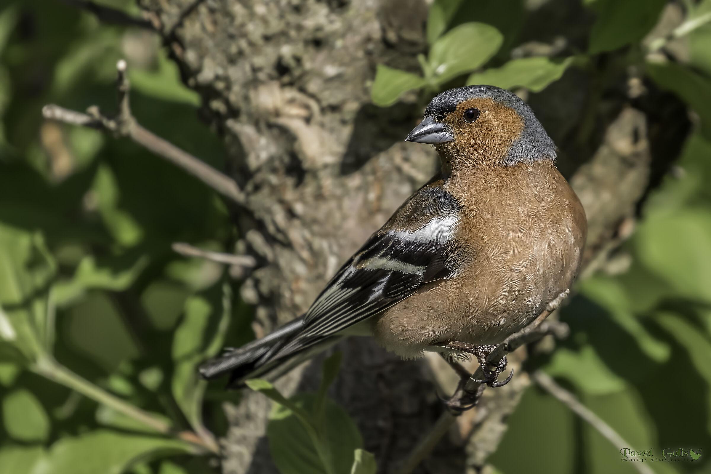 Common chaffinch (Fringilla coelebs)...