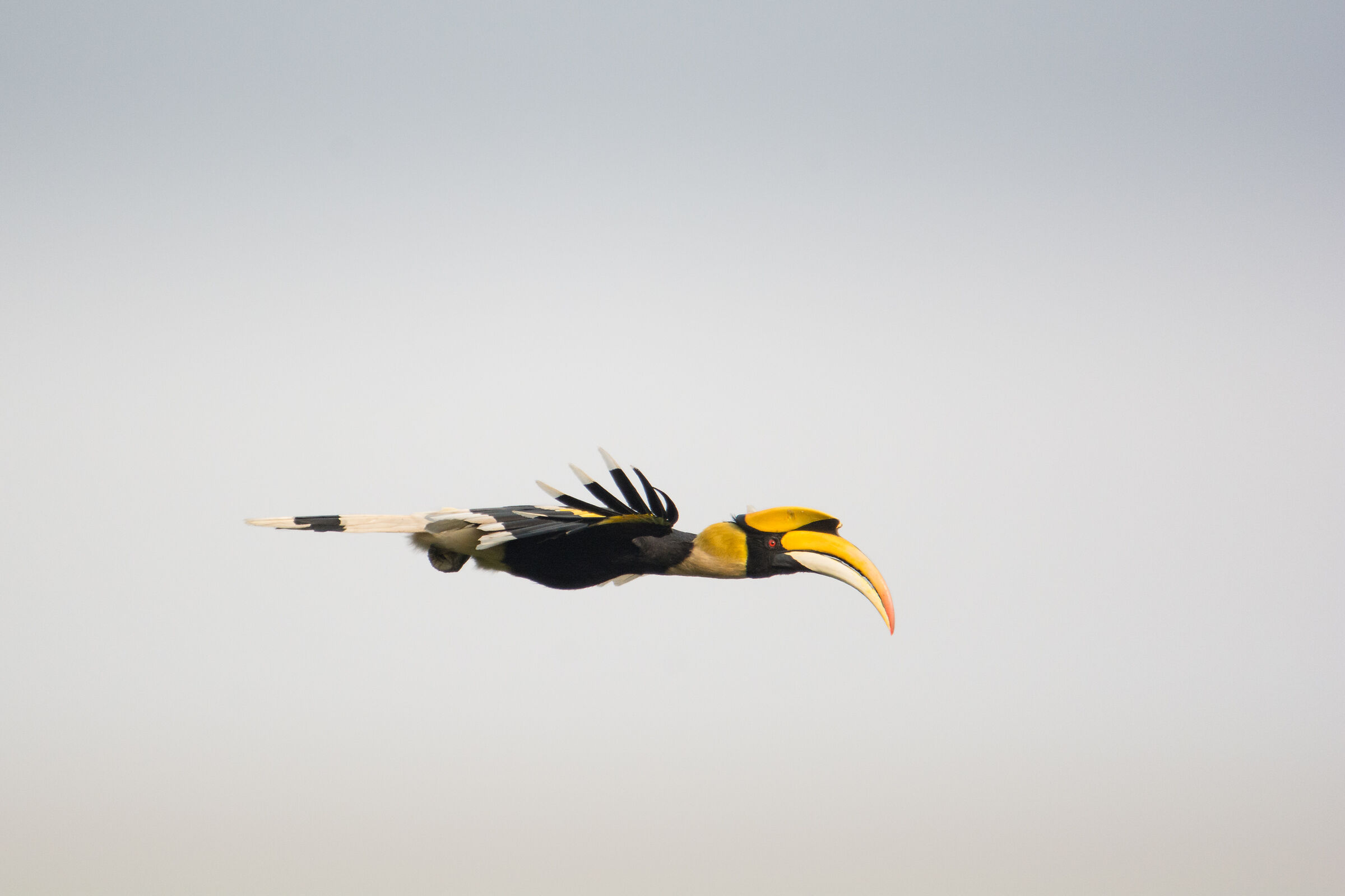 Great Hornbill - Flight...