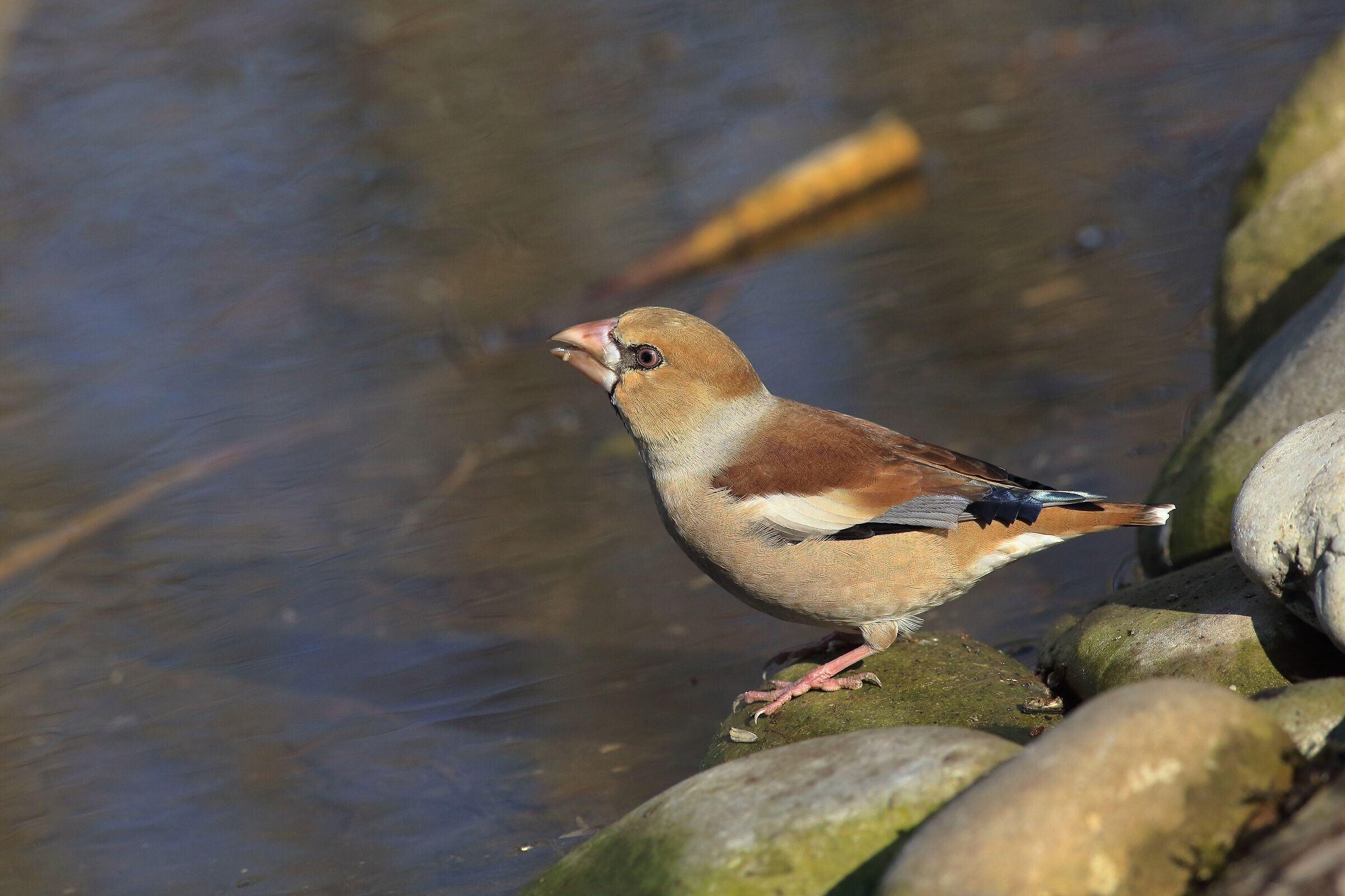 puddle frosone ,Coccothraustes-coccothraustes...