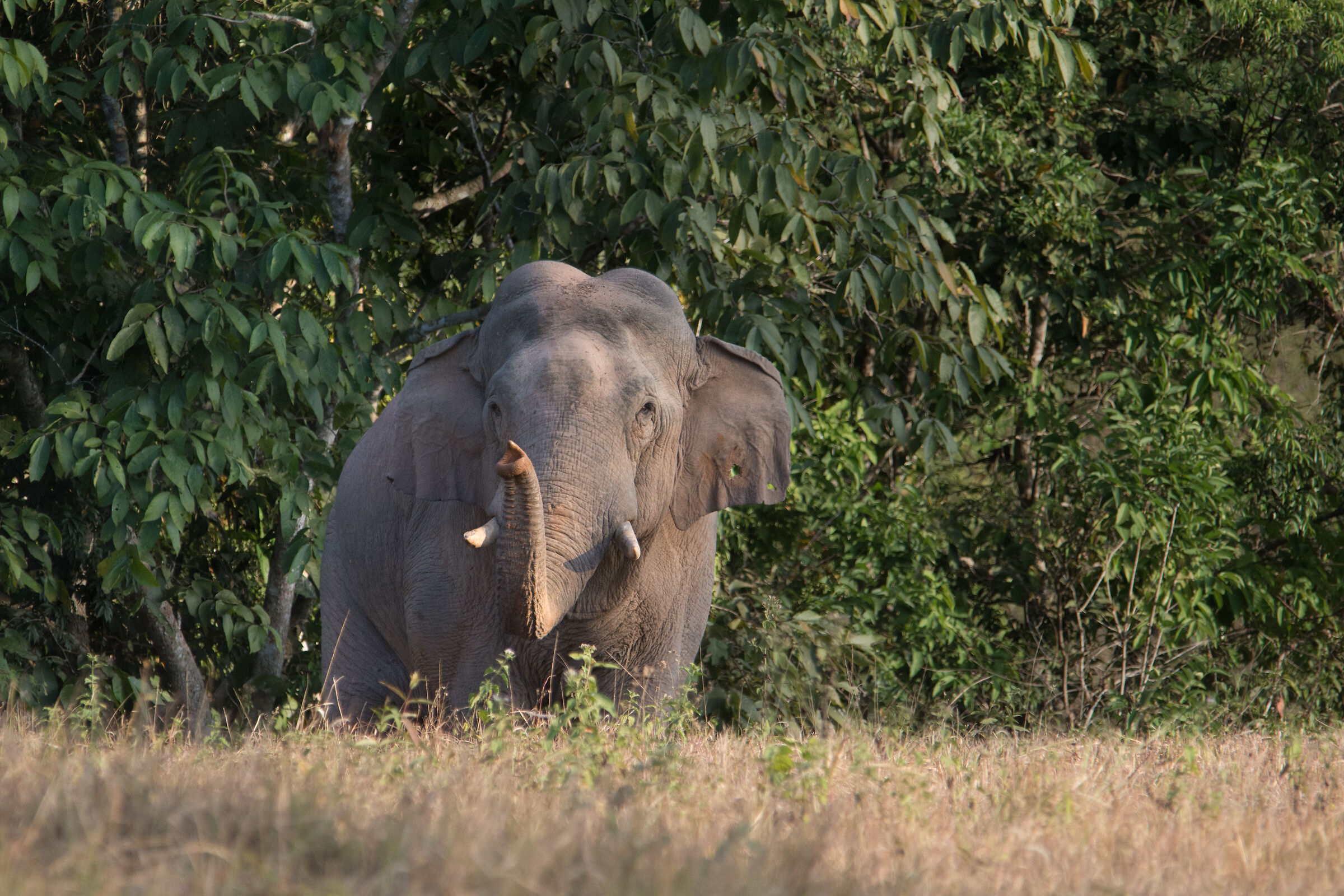 Asiatic Elephant - I Can Smell You...