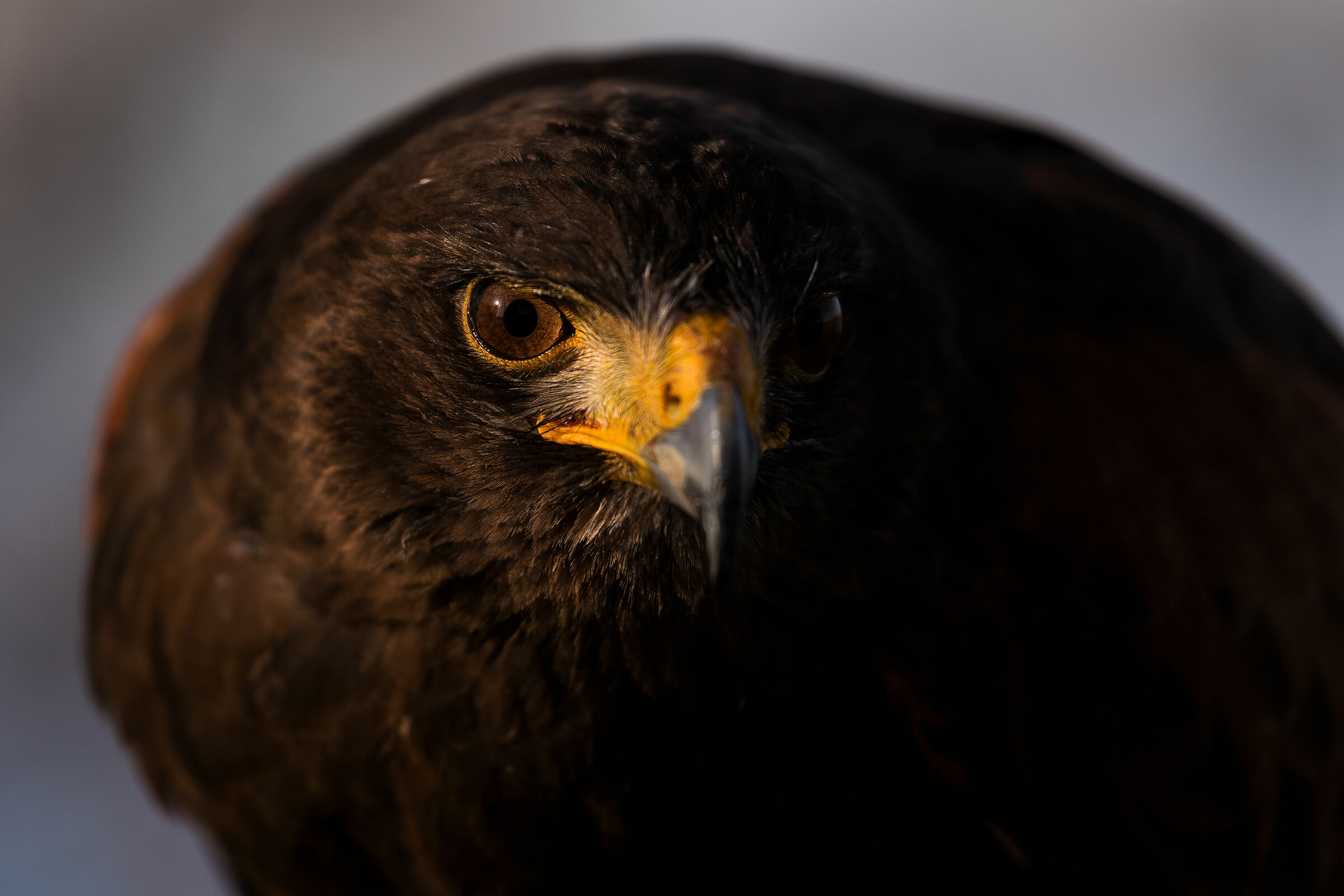Falco di Harris...