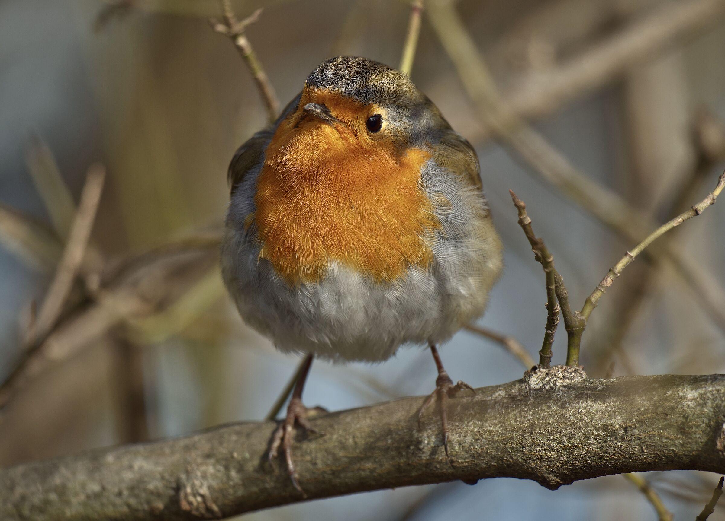 The chubby robin...