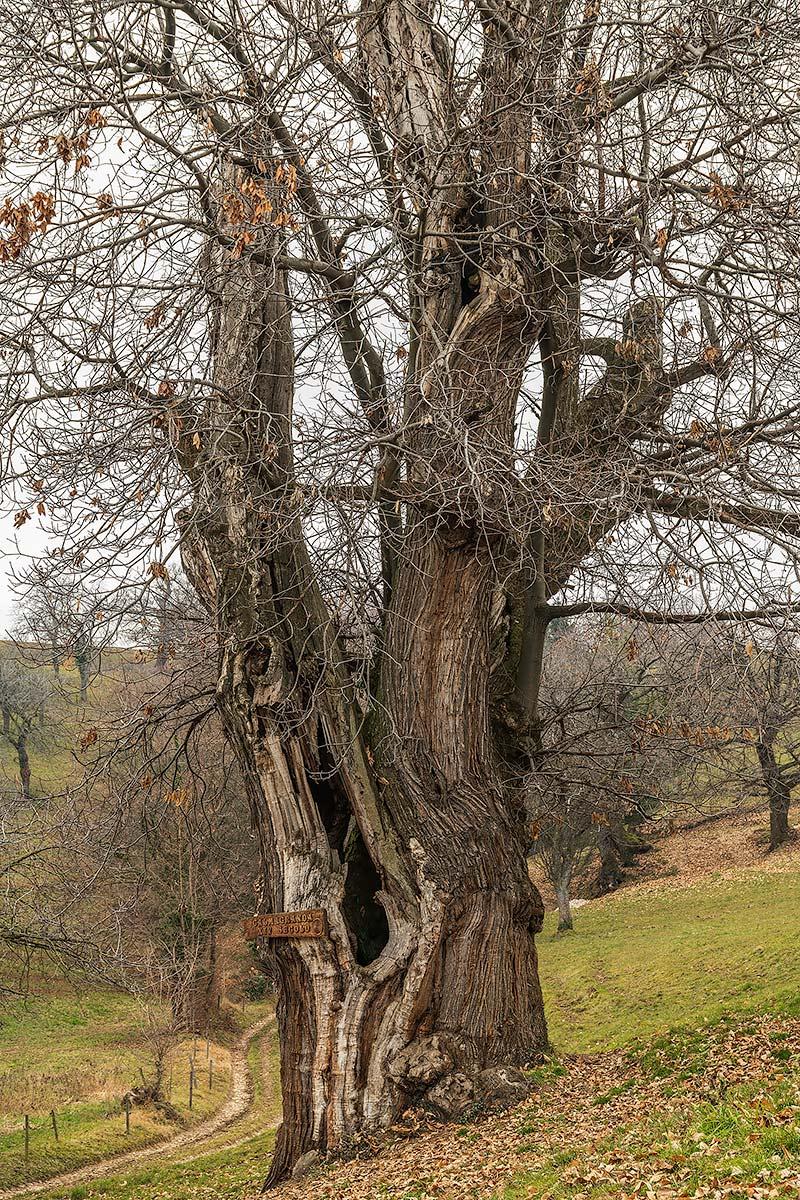 Calm Granda, 14th century chestnut - Lessinia...