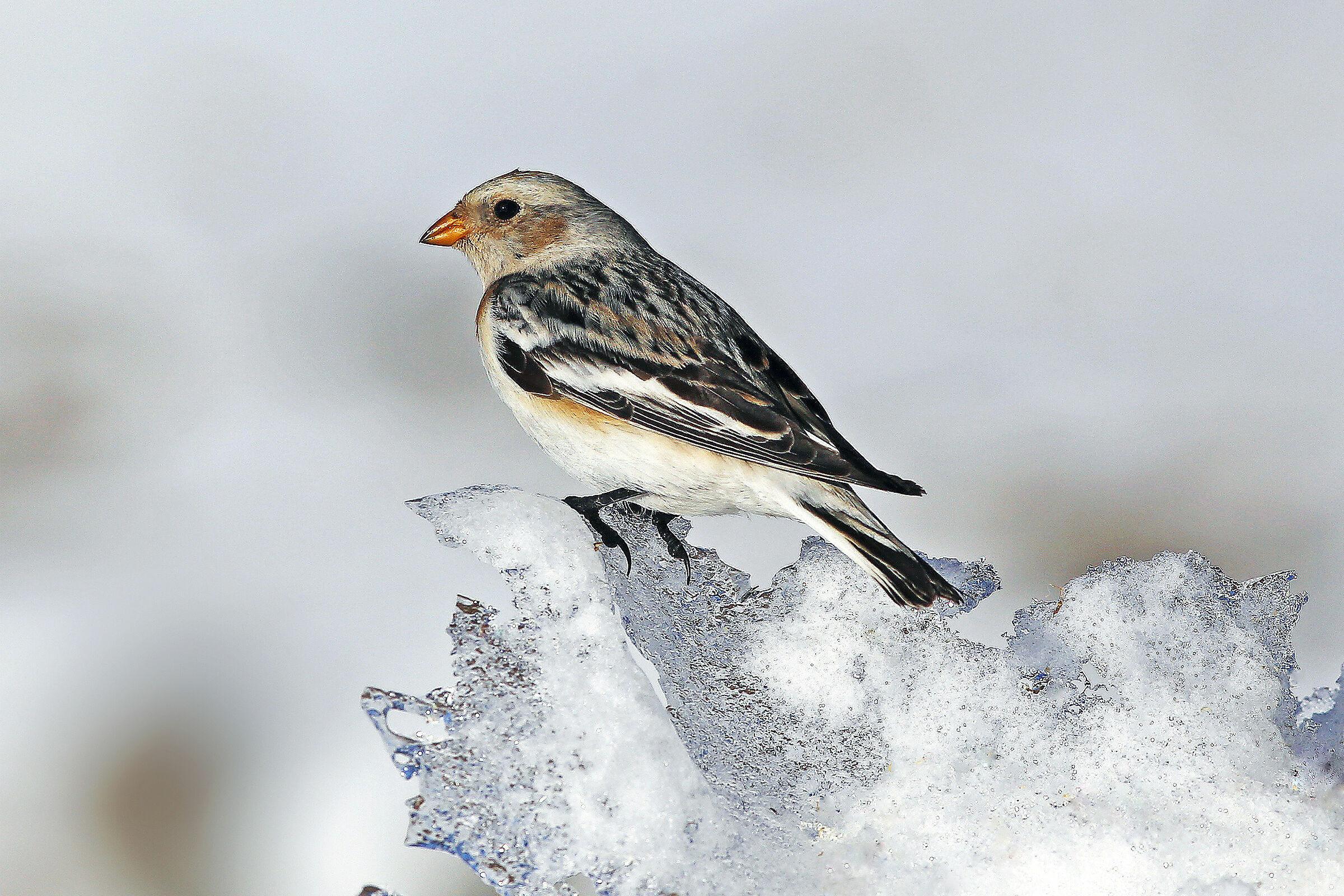 Snow zigolo - Plectrophenax nivalis...