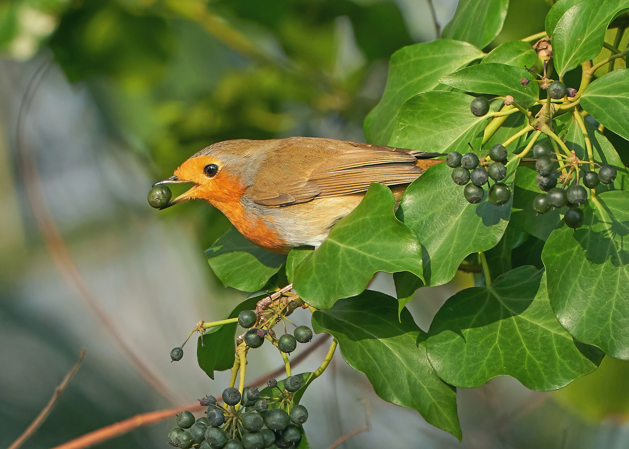 Robin ...