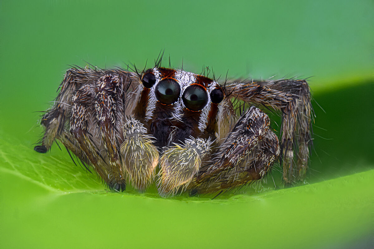 Jumping spiders...