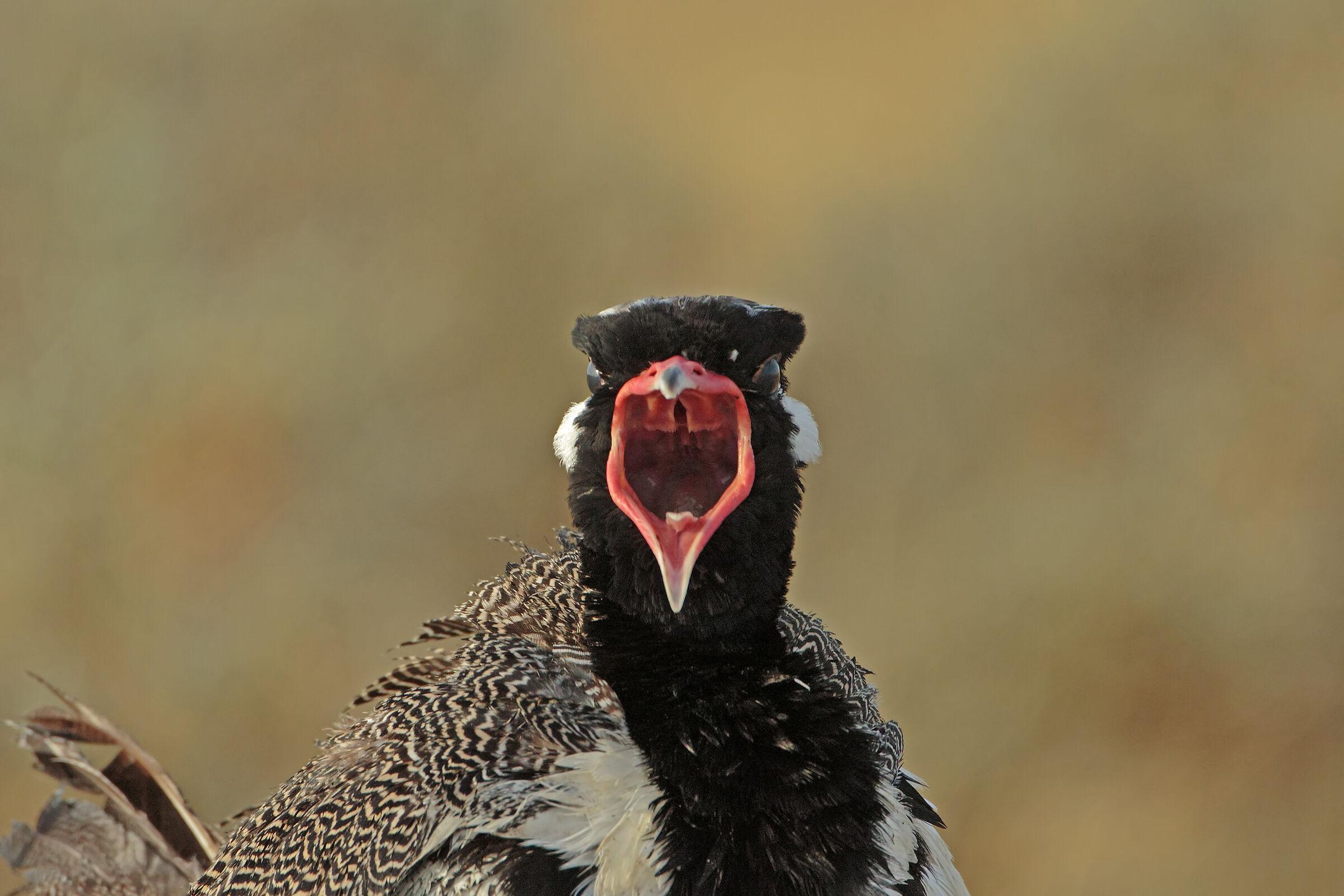Prataiola in singing...