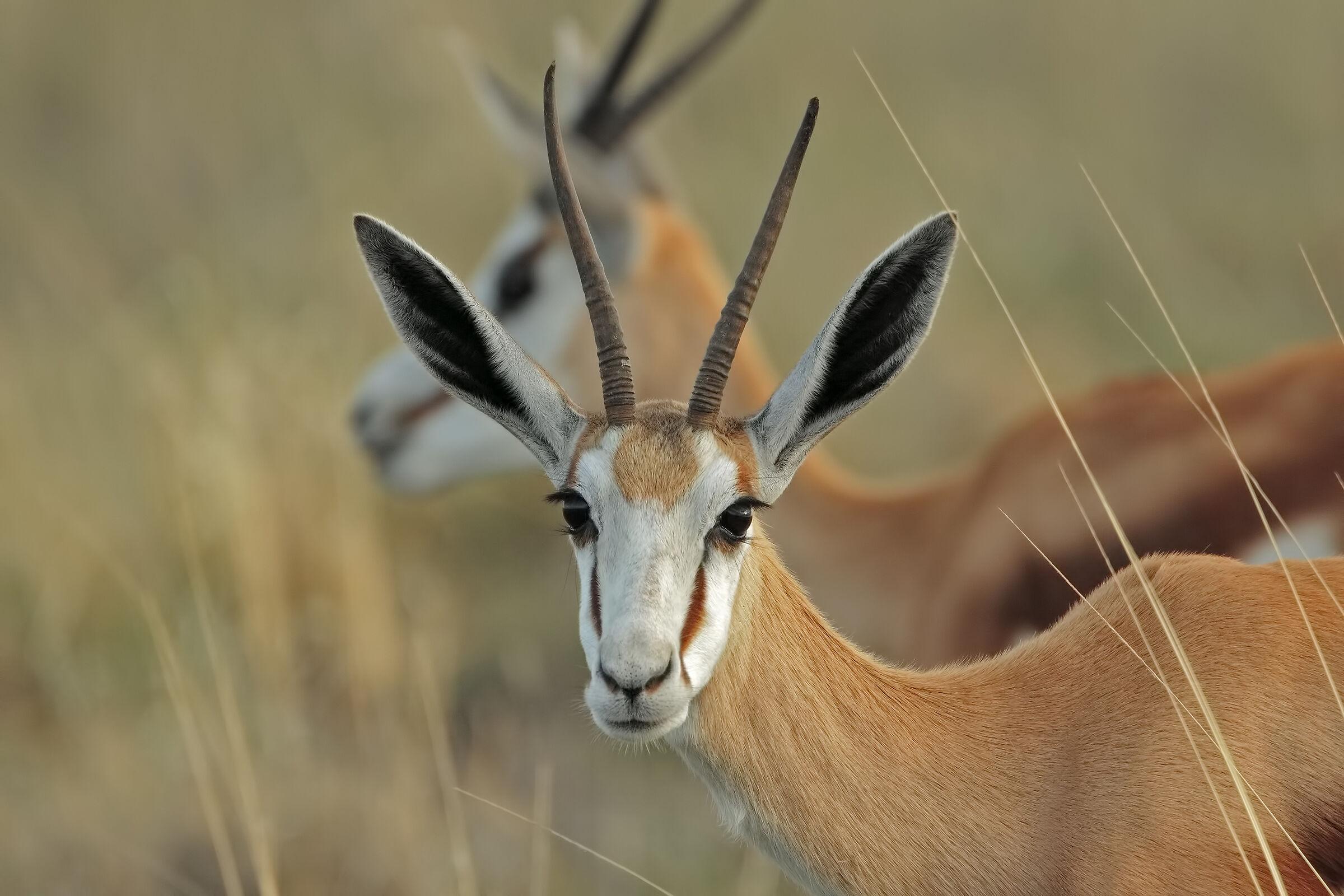 Springbok...