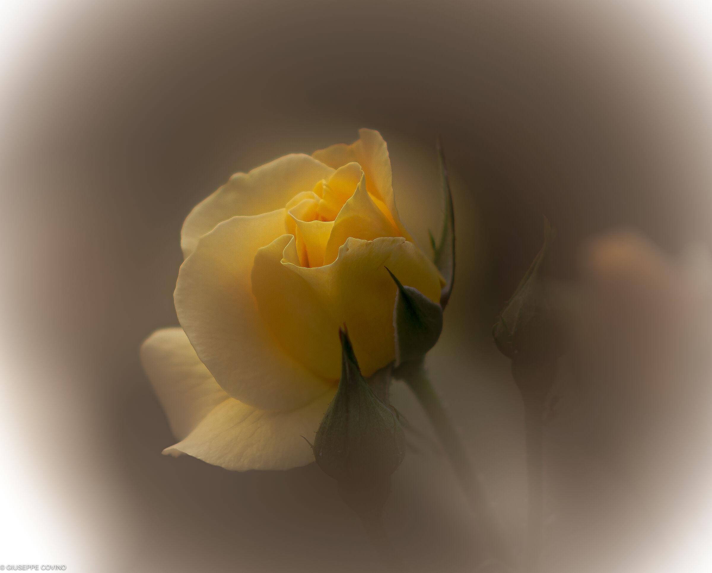 Yellow rose processing...