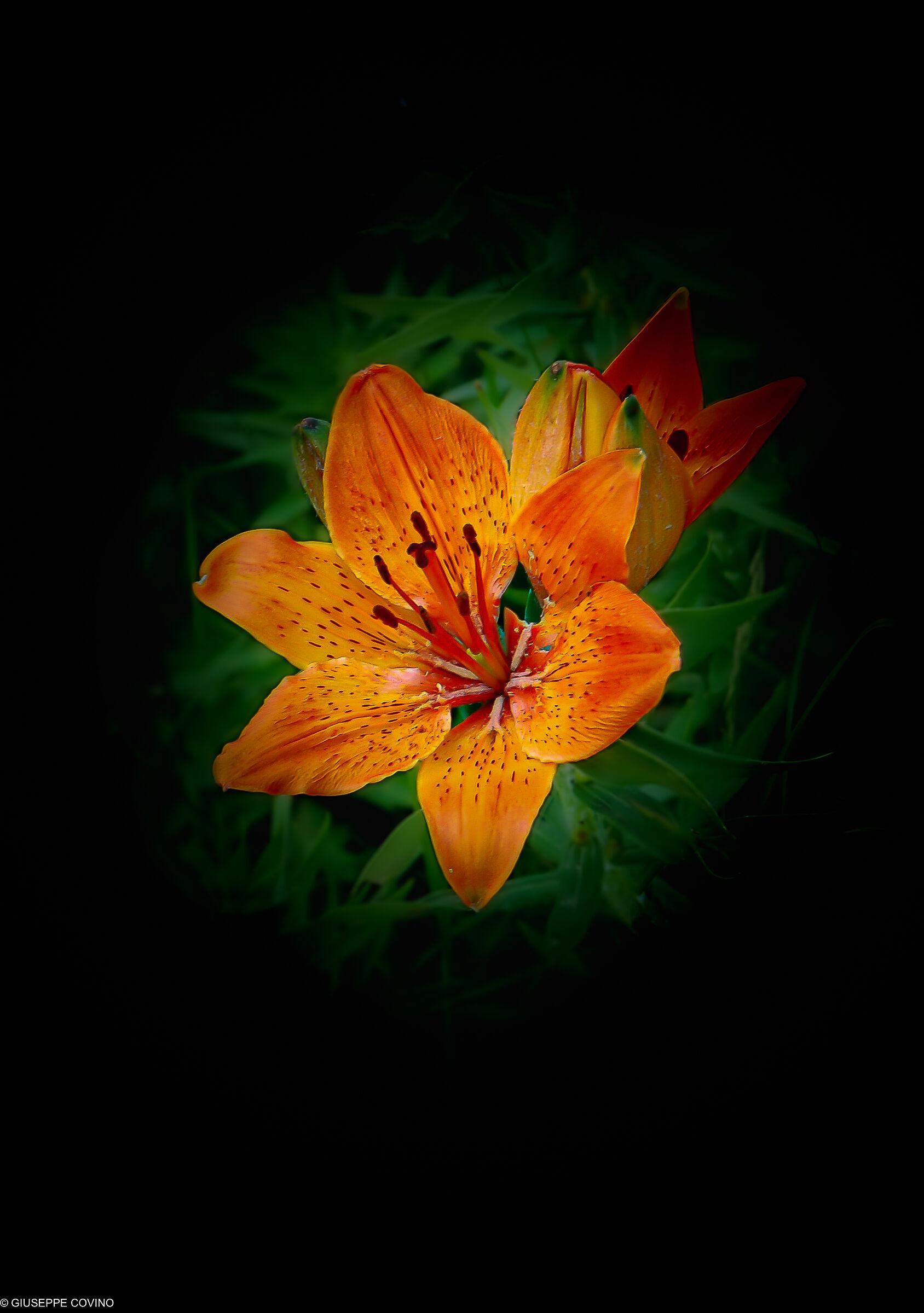 Mountain lily...