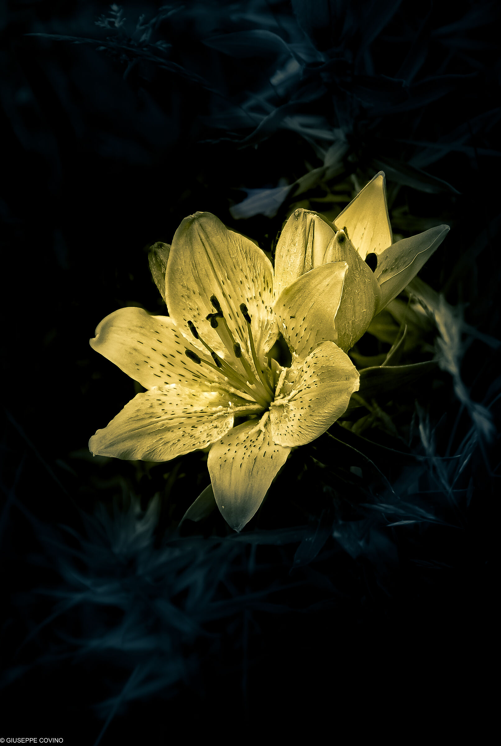 Reworked mountain lily...
