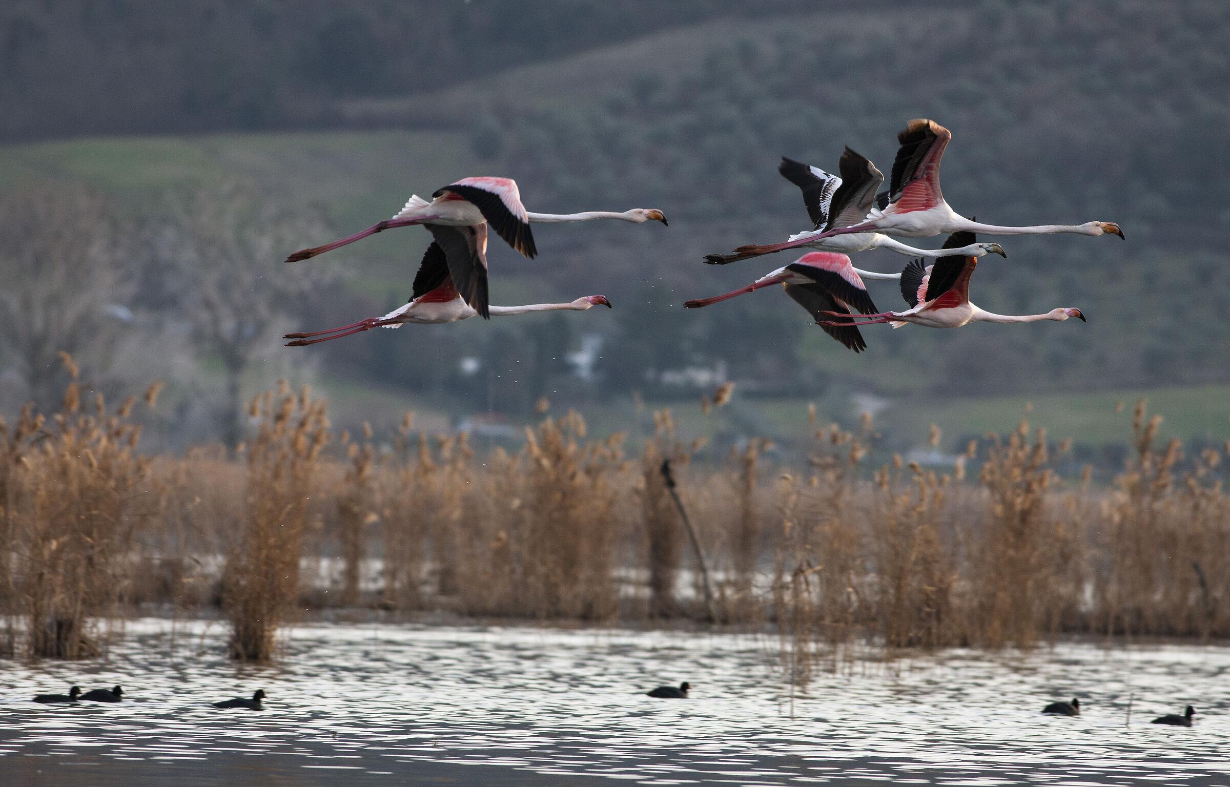 Flamingos in training ...