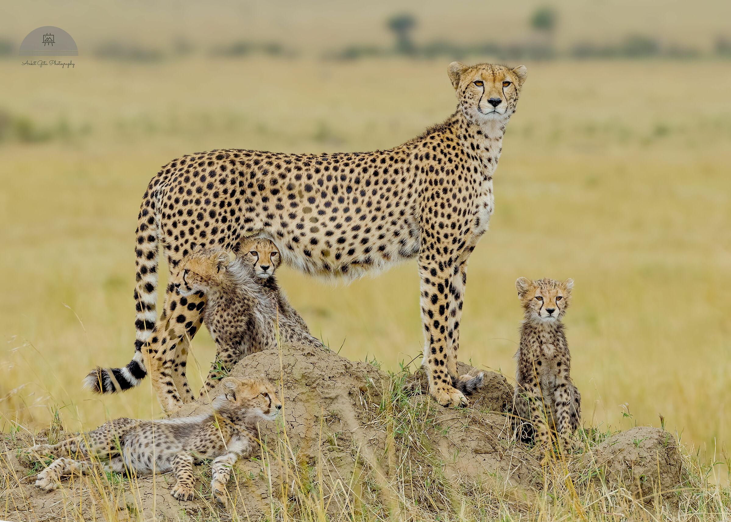 Cheetah family Portrait_Masaimara, Kenya...
