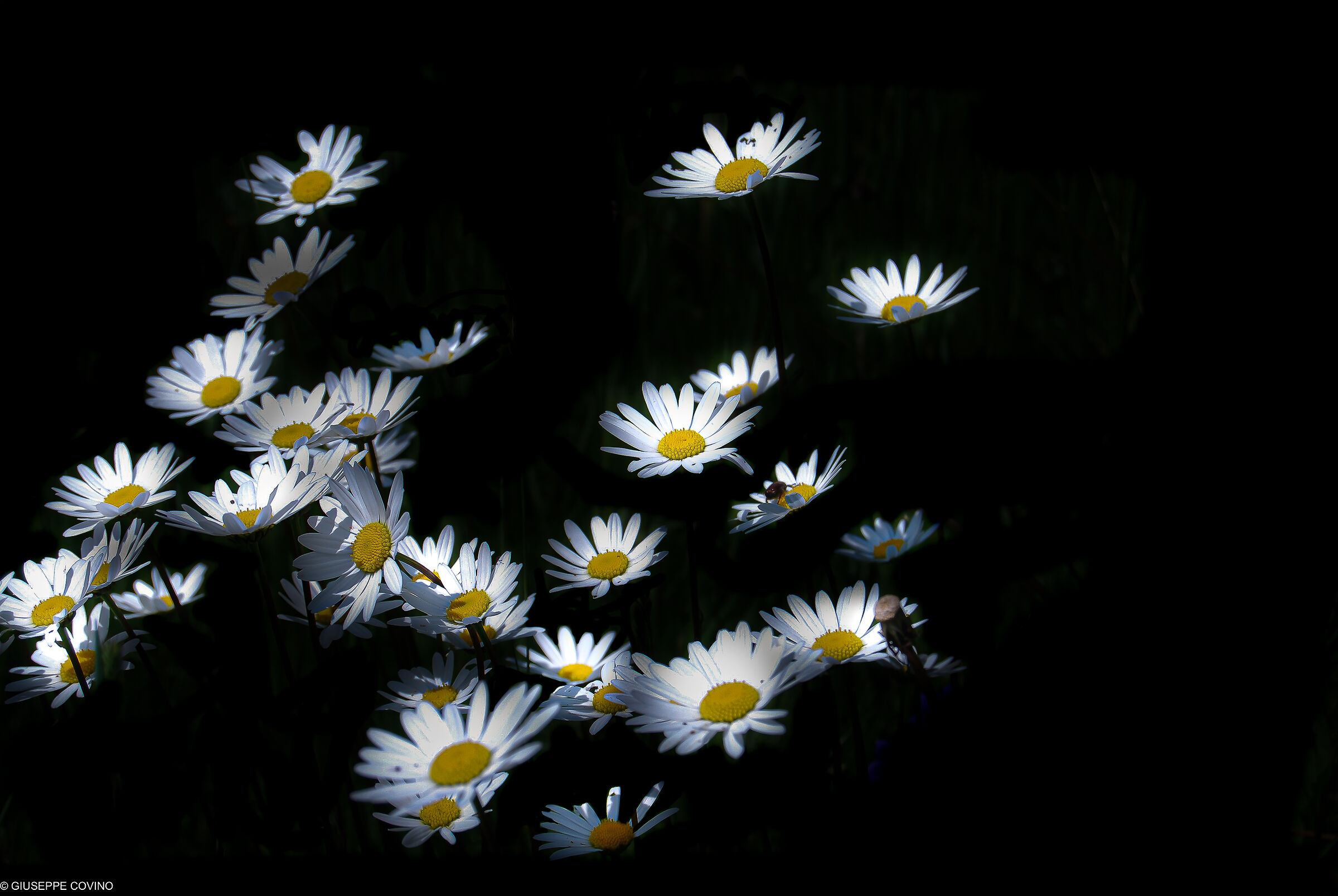 Storm of... daisies flying at night....